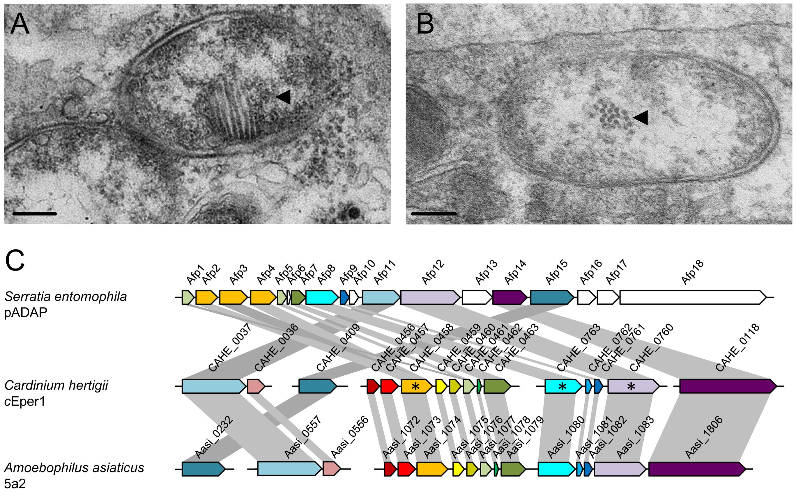 The putative phage derived protein secretion system of <i>Cardinium hertigii c</i>Eper1.