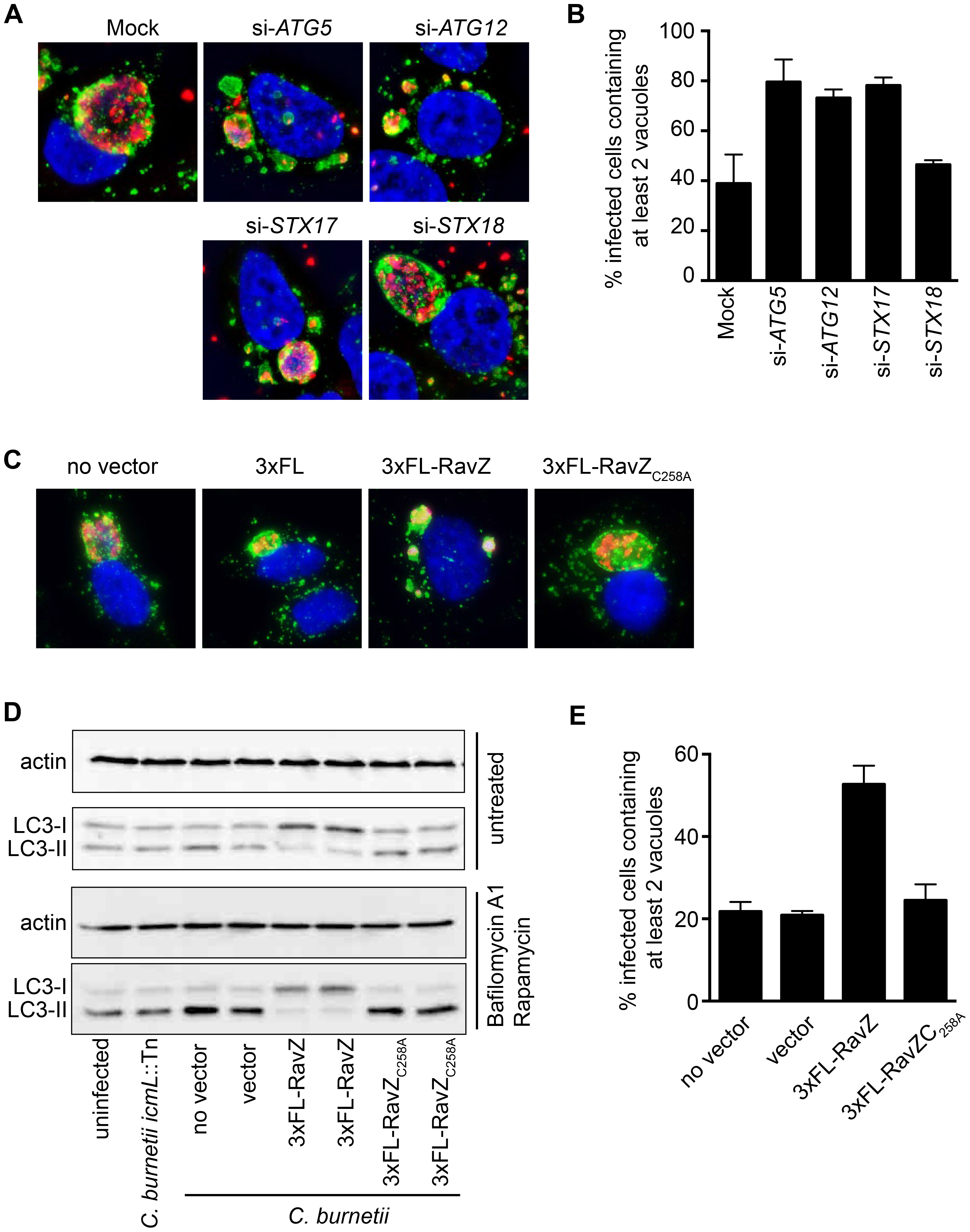 Autophagy is required for homotypic fusion of CCVs.