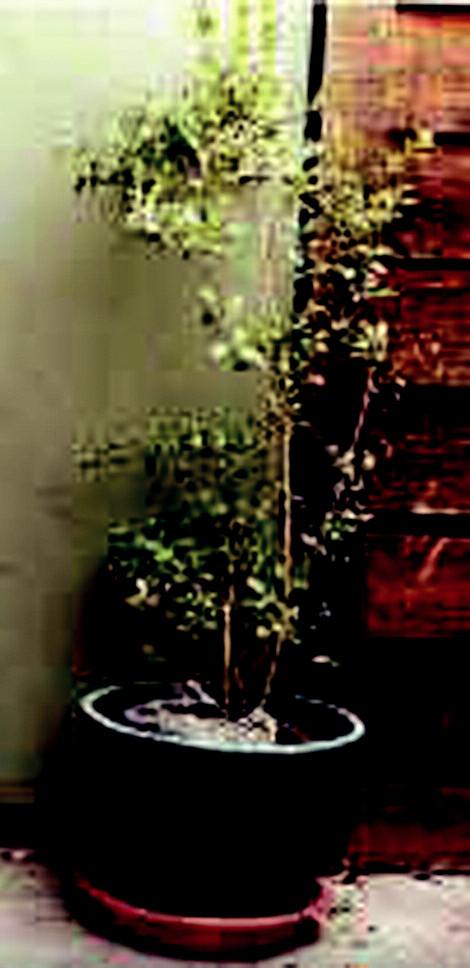 Hena - lat. Lawsonia Inermis.