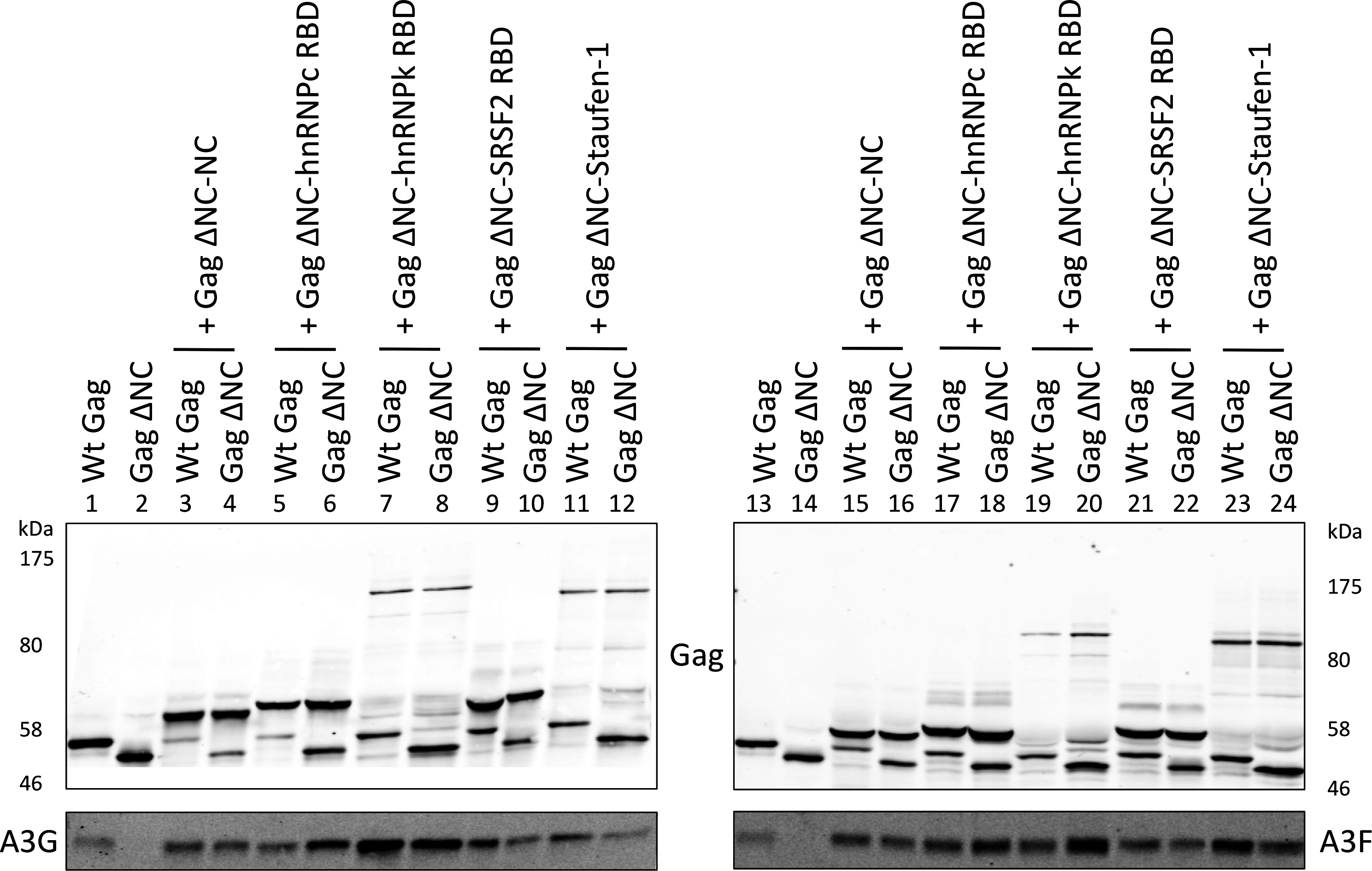 A3G and A3F are incorporated in VLPs when Gag is fused to different RNA-binding domains.