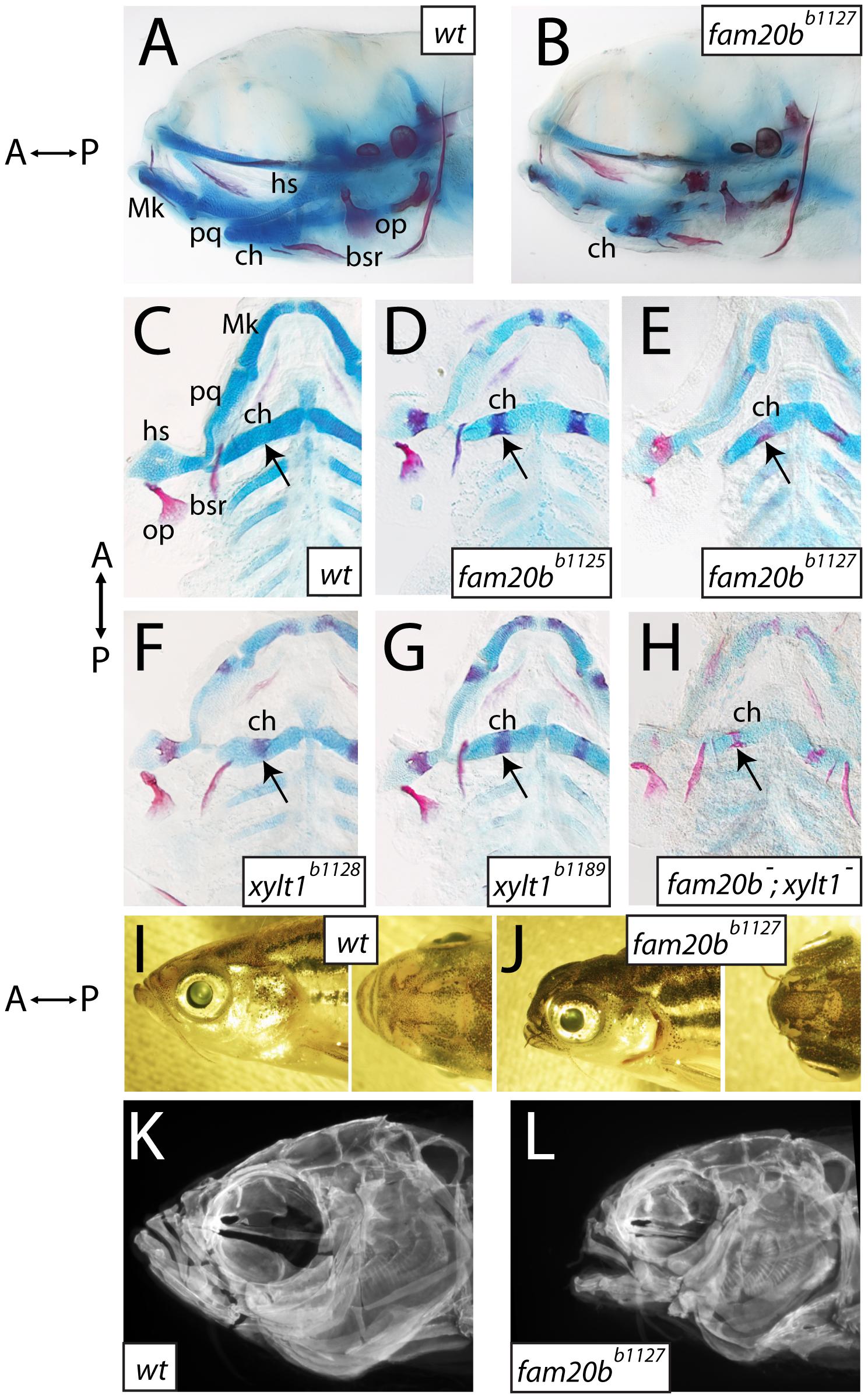 Craniofacial skeletons of mutant zebrafish larvae exhibit increased bone matrix and decreased cartilage matrix.