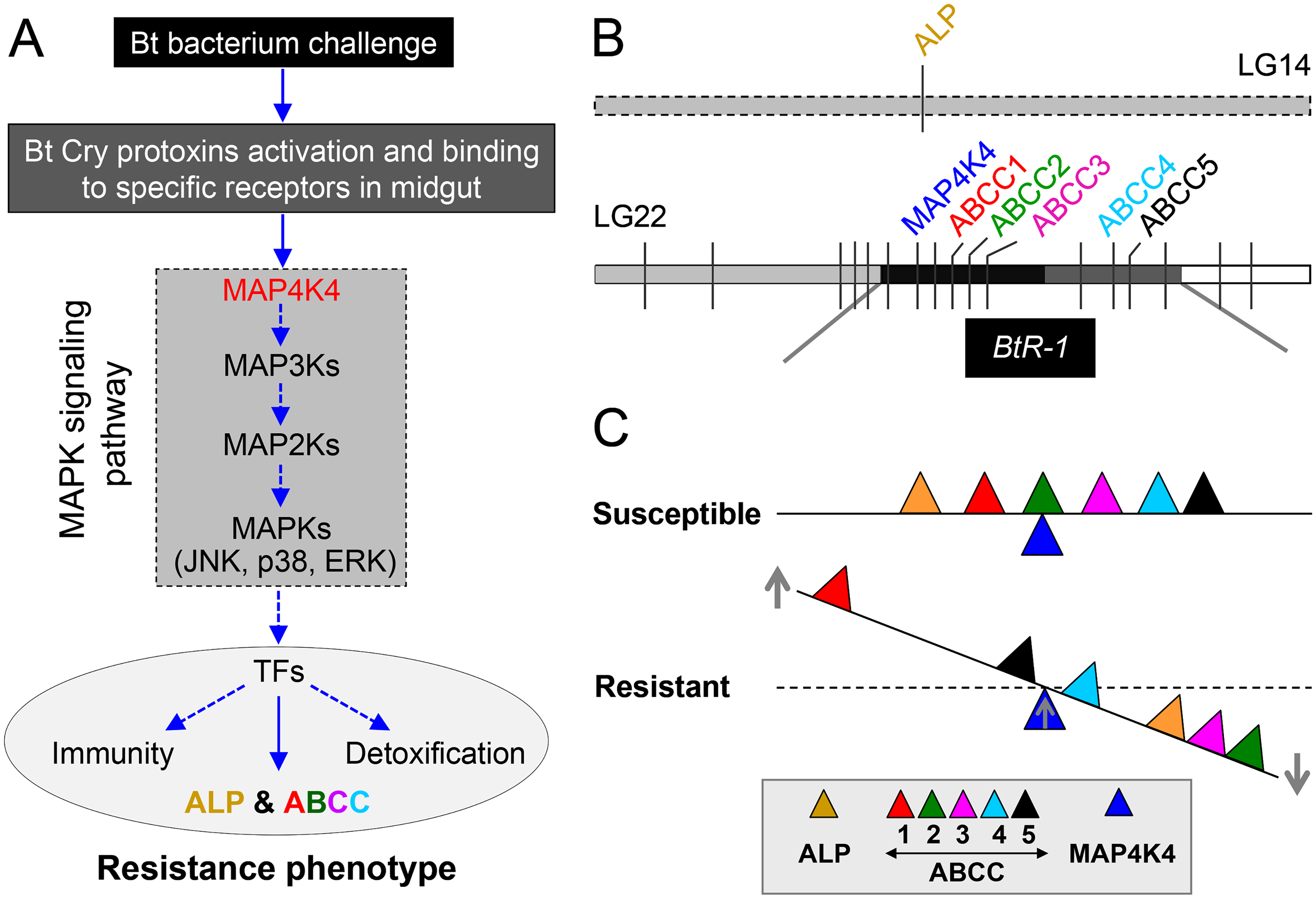Schematic drawing depicting a novel Cry1Ac resistance mechanism in <i>P</i>. <i>xylostella</i>.