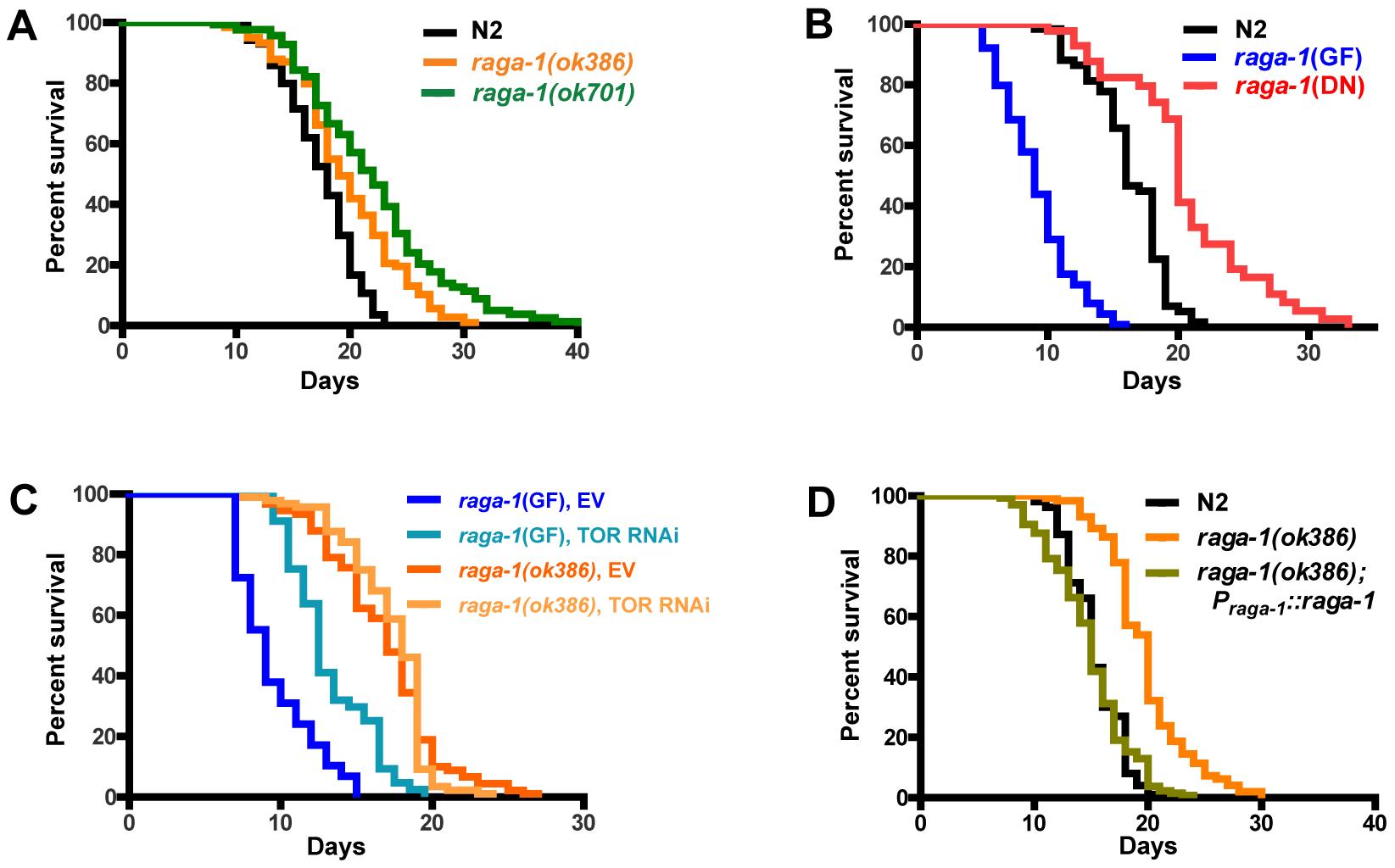 Genetic alteration of <i>raga-1</i> affects lifespan.