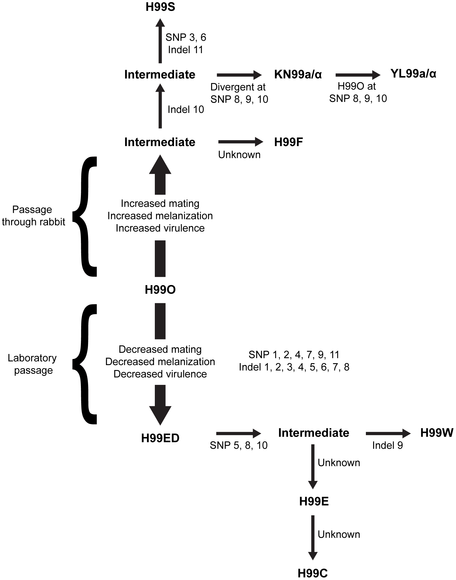 Origins of the independent lineages of H99.