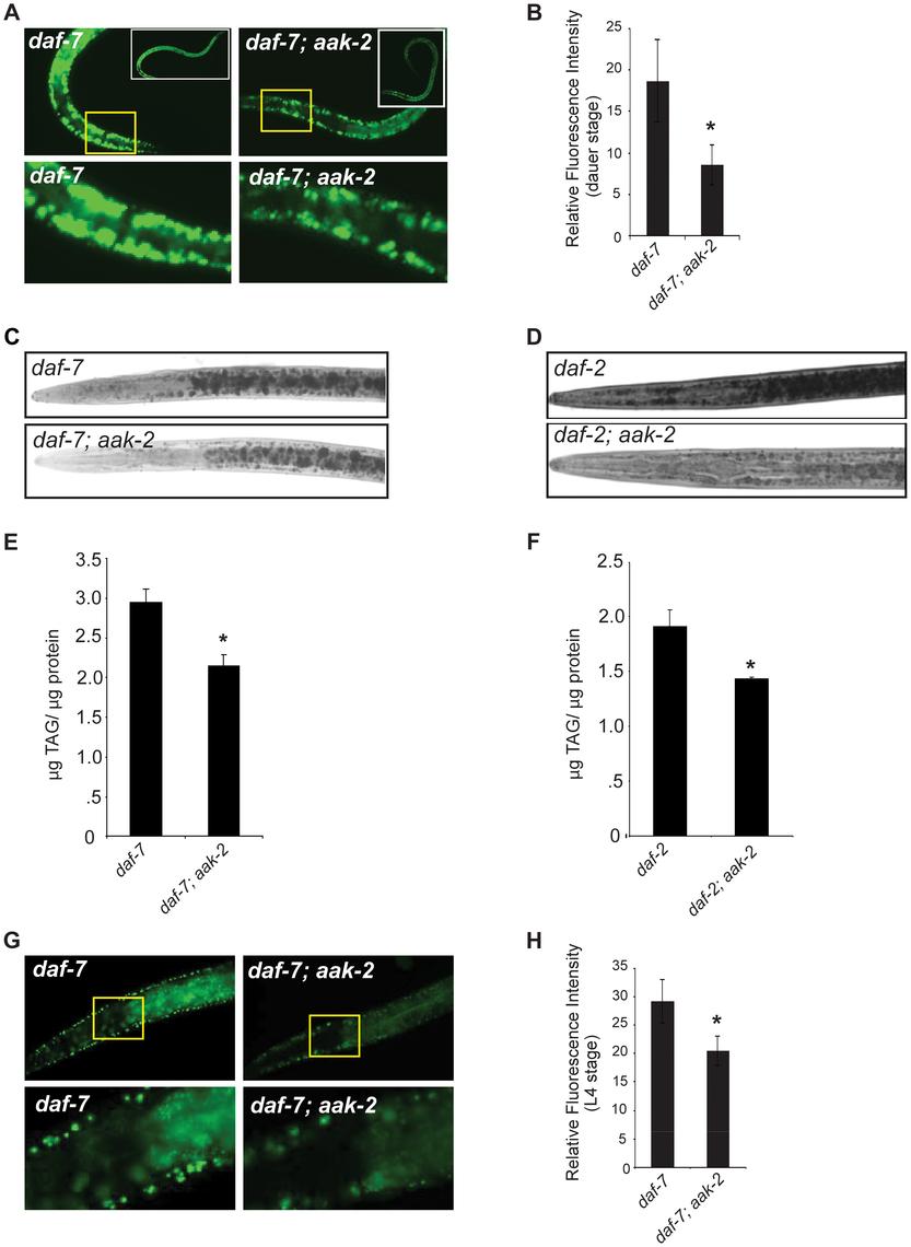 <i>daf-7; aak-2</i> and <i>daf-2; aak-2</i> have reduced fat relative to <i>daf-7</i> and <i>daf-2</i> at all stages of development.