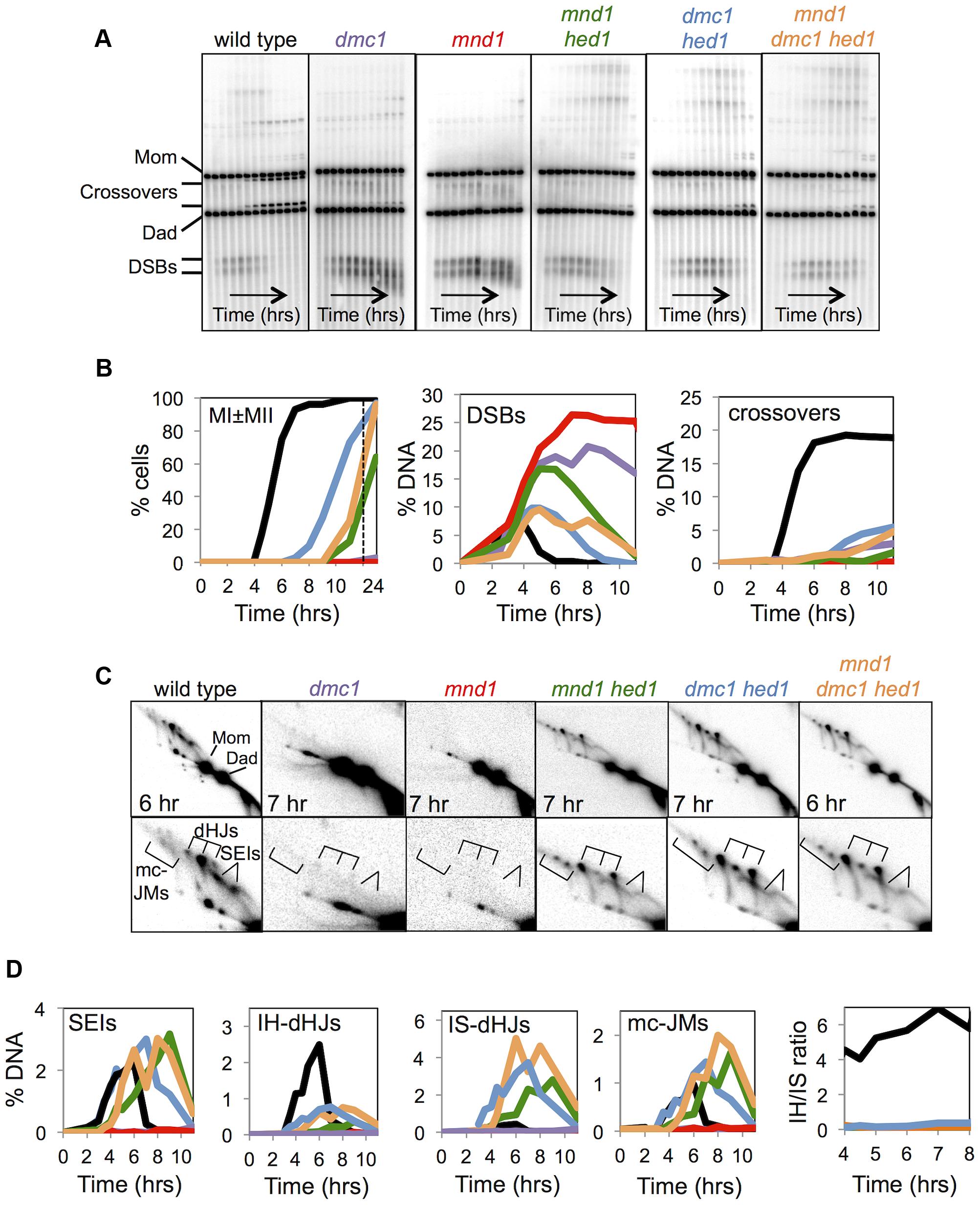 Mnd1 promotes Dmc1-dependent interhomolog recombination and Dmc1 inhibits Rad51-mediated recombination.