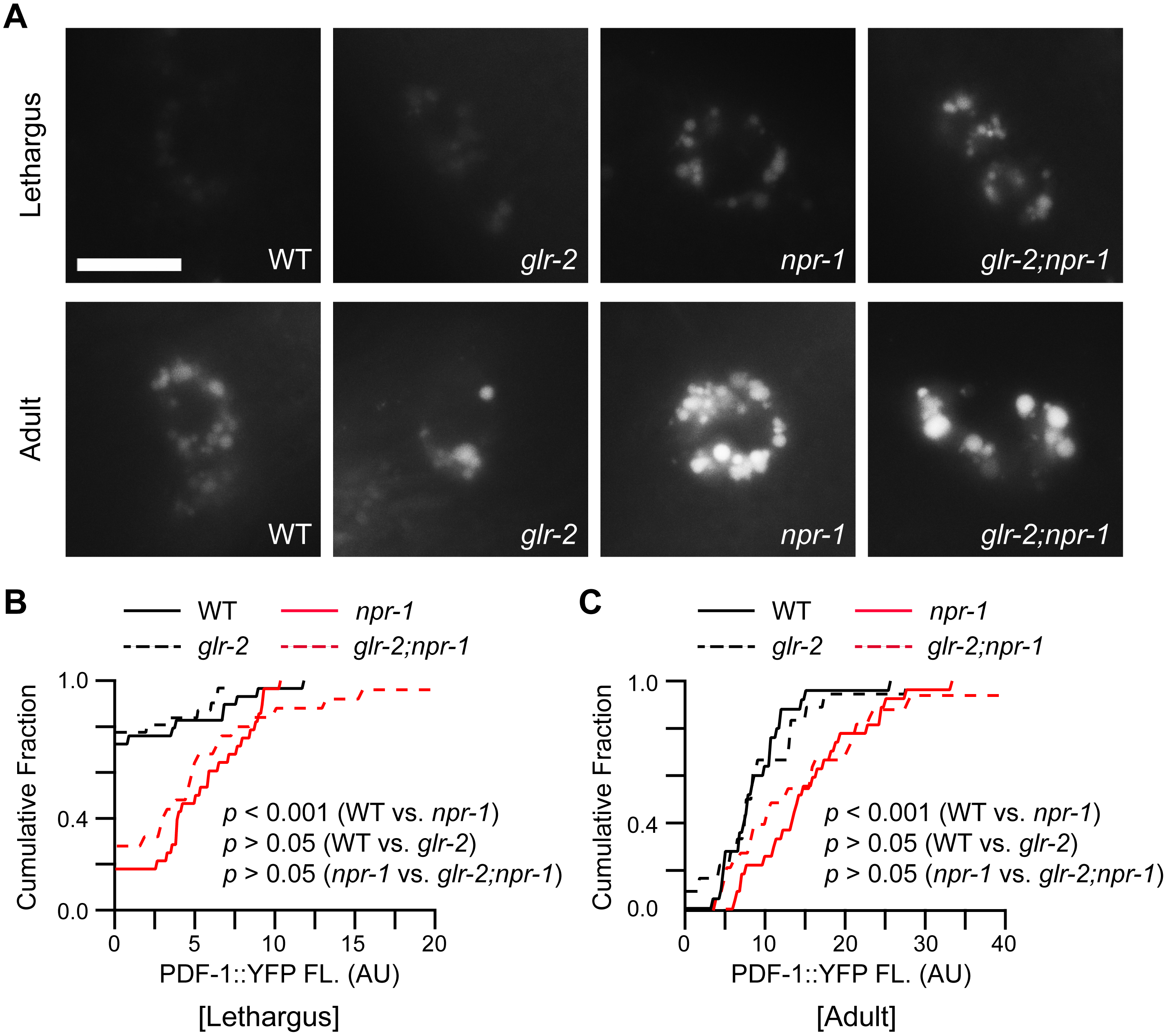 PDF-1 secretion is not altered in <i>glr-2</i> mutants.