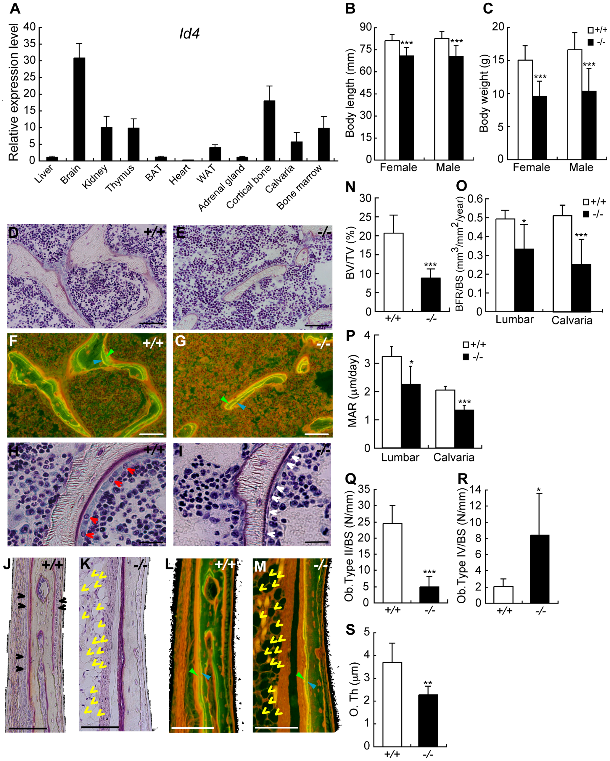 4-week-old <i>Id4</i> knockout (<i>Id4</i><sup>−/−</sup>) mice show disturbance in growth and impaired osteoblast differentiation.