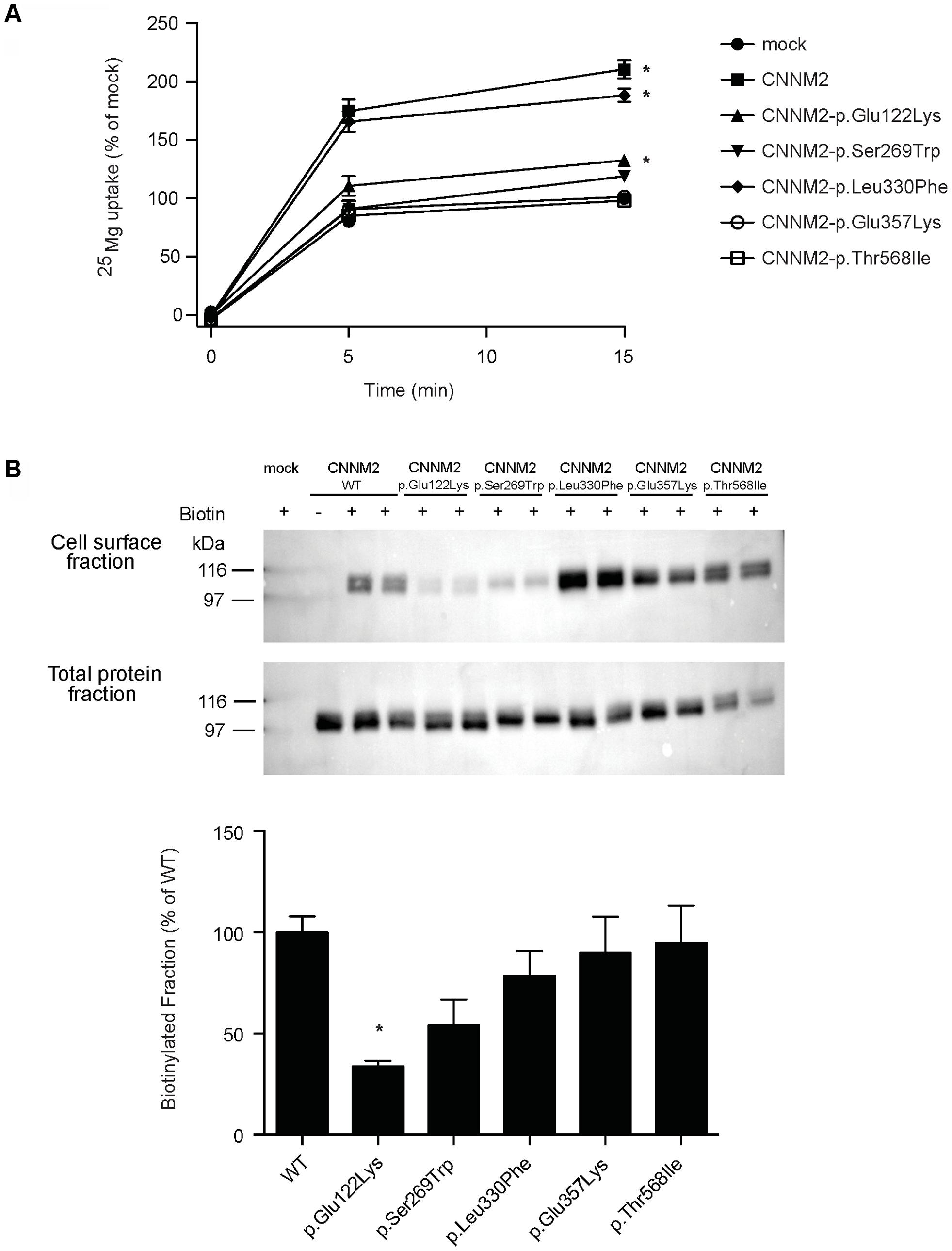 CNNM2 mutations impair Mg<sup>2+</sup> uptake in HEK293 cells.