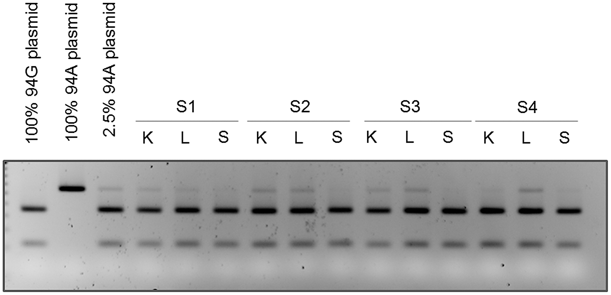 Mutation at position 94 is verified by RFLP analysis.