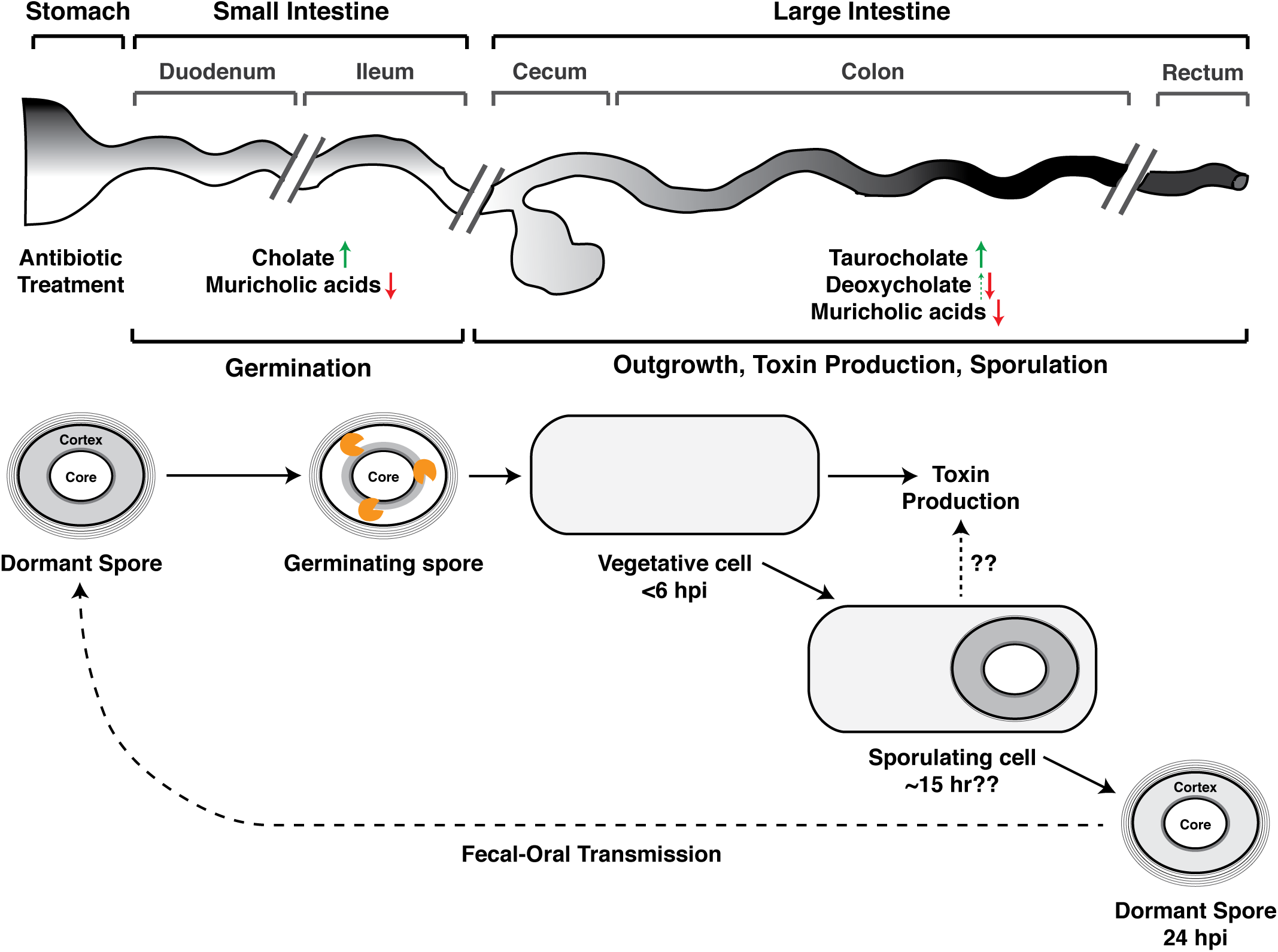 Developmental life cycle of <i>Clostridium difficile</i> during infection.