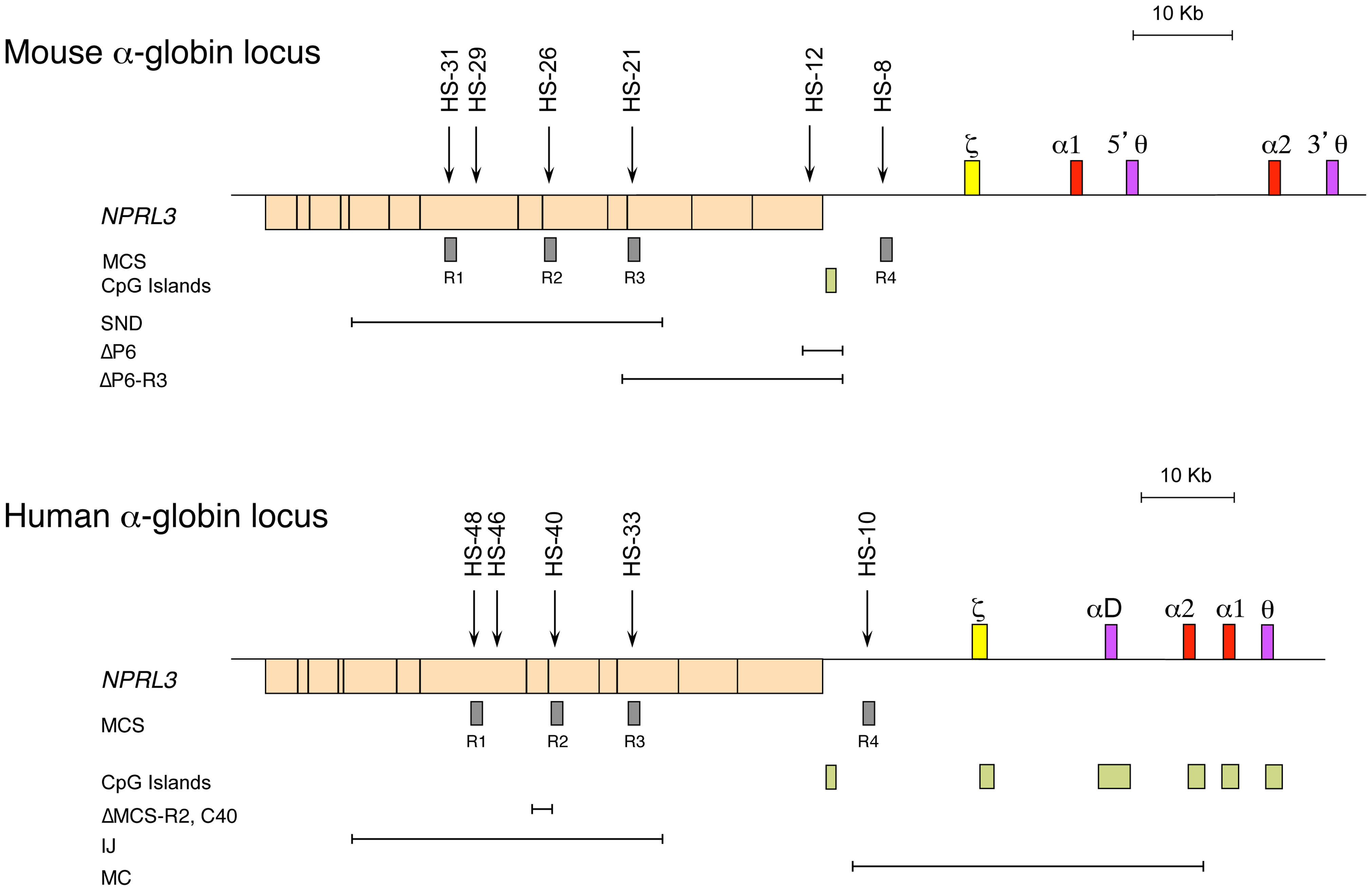 The chromosomal organisation of the mouse (top) and human (bottom) α-globin clusters.