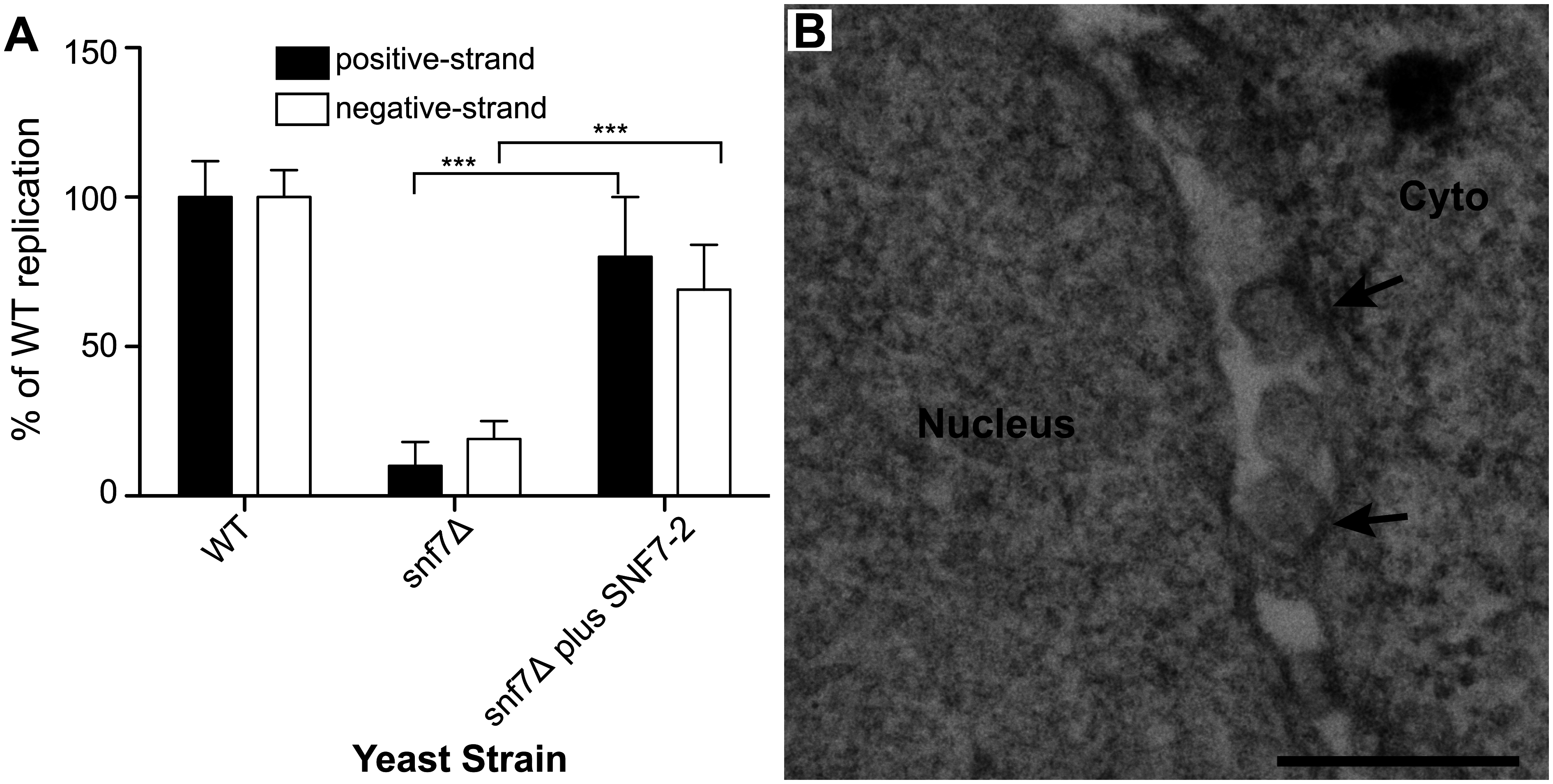 Plant homolog of Snf7p complements BMV RNA replication and spherule formation in yeast.