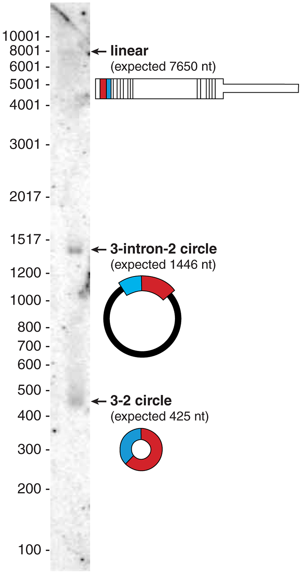 Northern blot shows the dominant isoform of CAMSAP1 is circular.