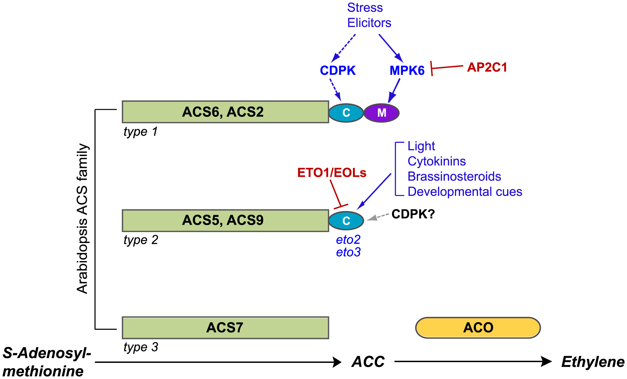 Post-translational modifications of ACS proteins regulate ethylene synthesis.