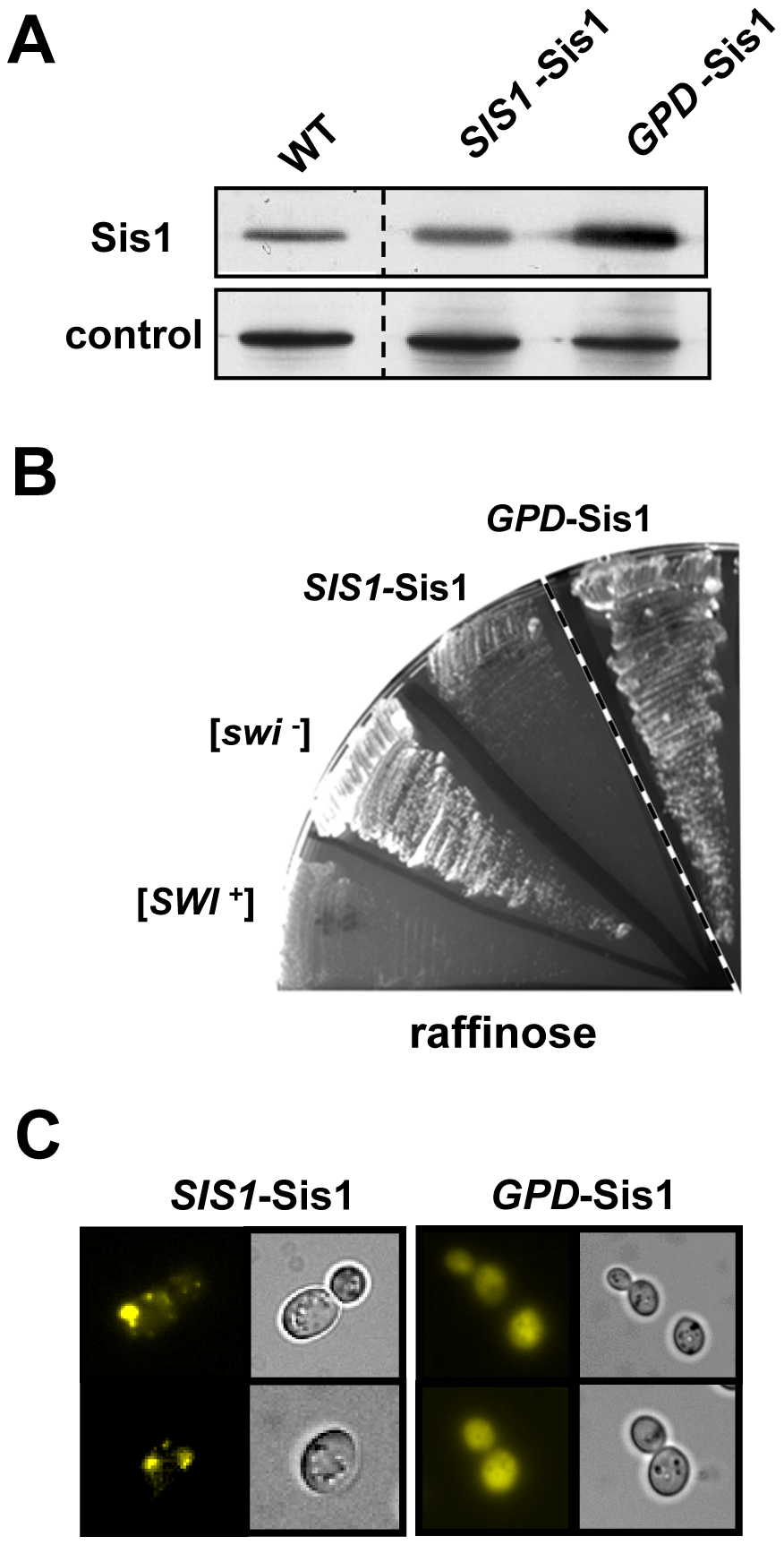 Overexpression of Sis1 cures [<i>SWI</i><sup>+</sup>].