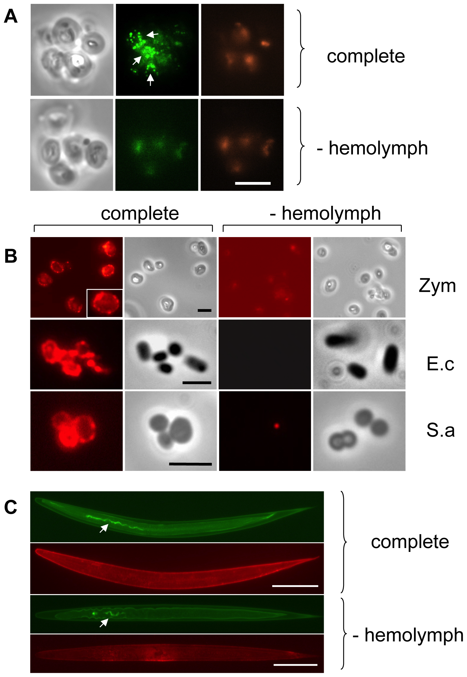 <i>Drosophila</i> Transglutaminase targets microbial surfaces.