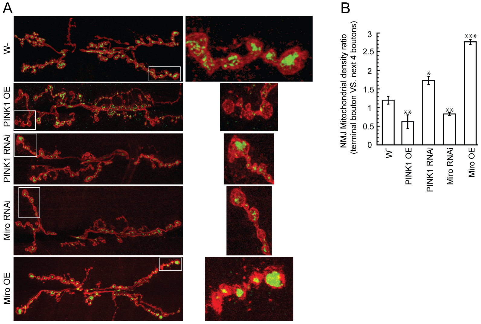 PINK1 affects mitochondrial distribution within motor neuron nerve terminals at the <i>Drosophila</i> larval neuromuscular junction.