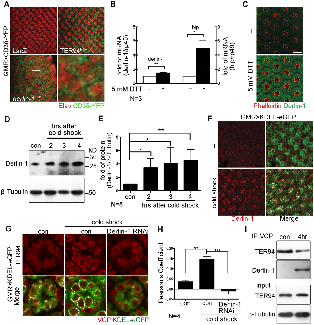 ER stress increases Derlin-1 expression and promotes the recruitment of TER94 to the ER.