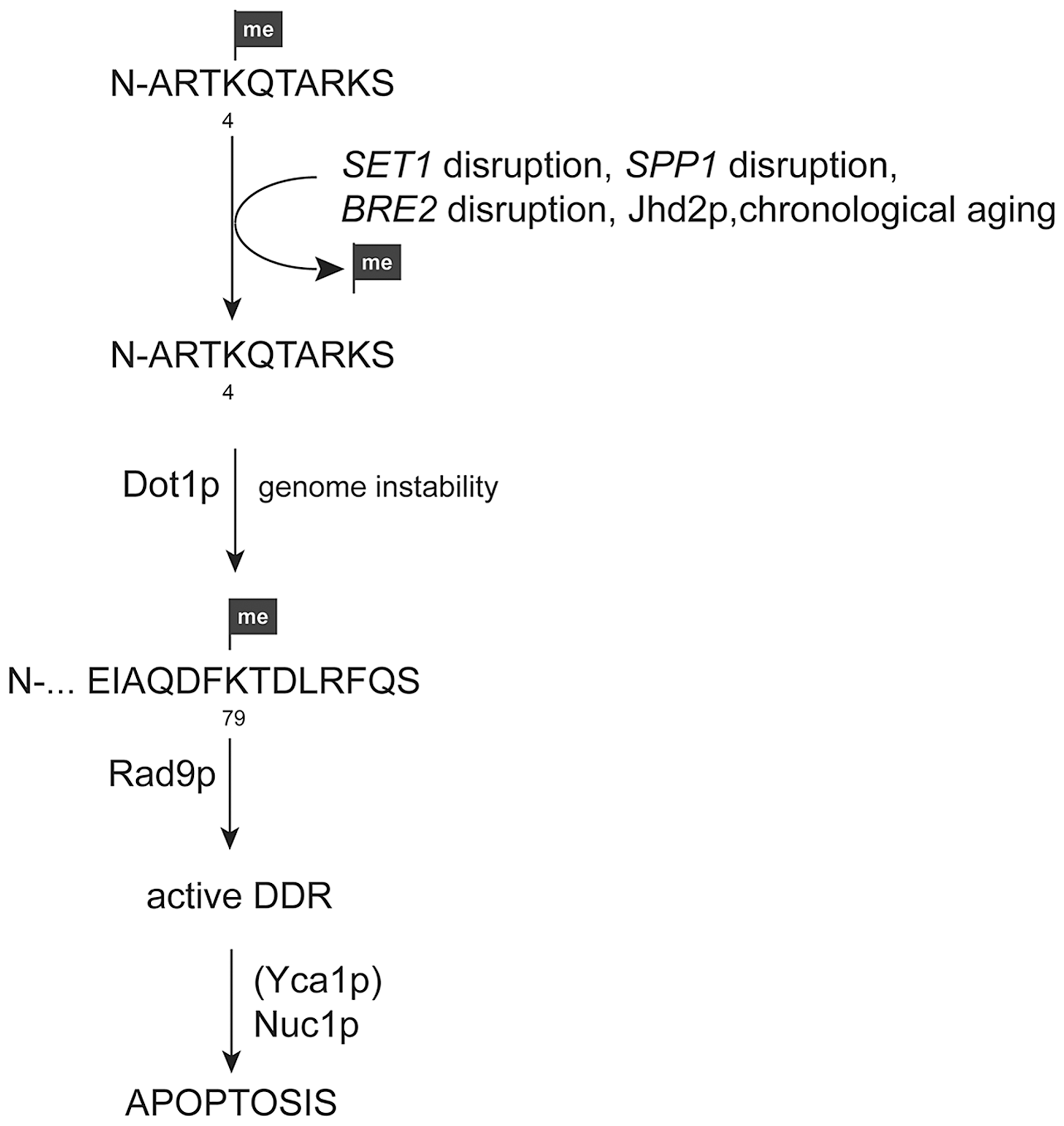 Model for apoptosis activation in yeast cells upon loss of H3K4 methylation.