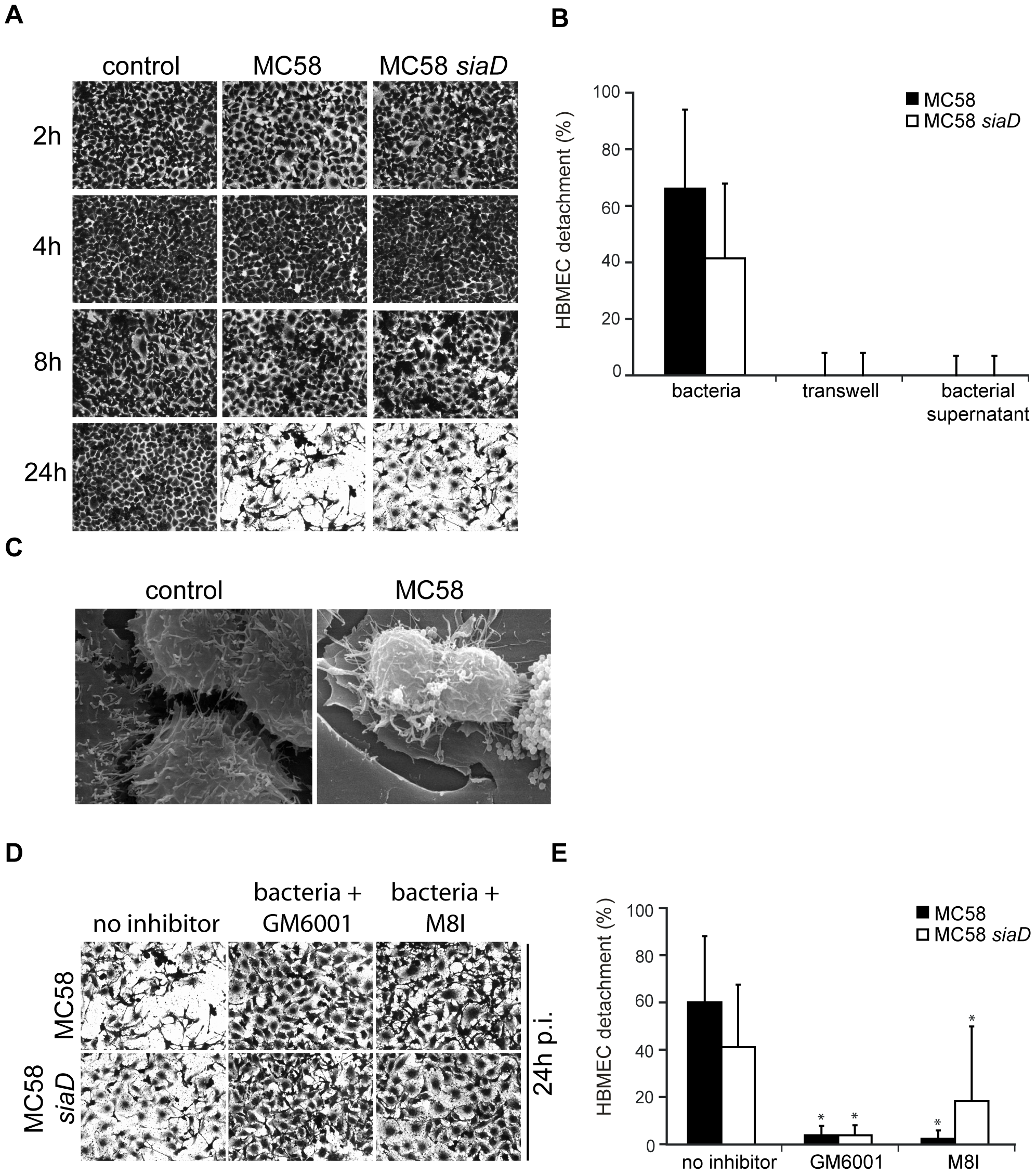 <i>N. meningitidis</i> infection triggers time-dependent detachment of HBMEC.