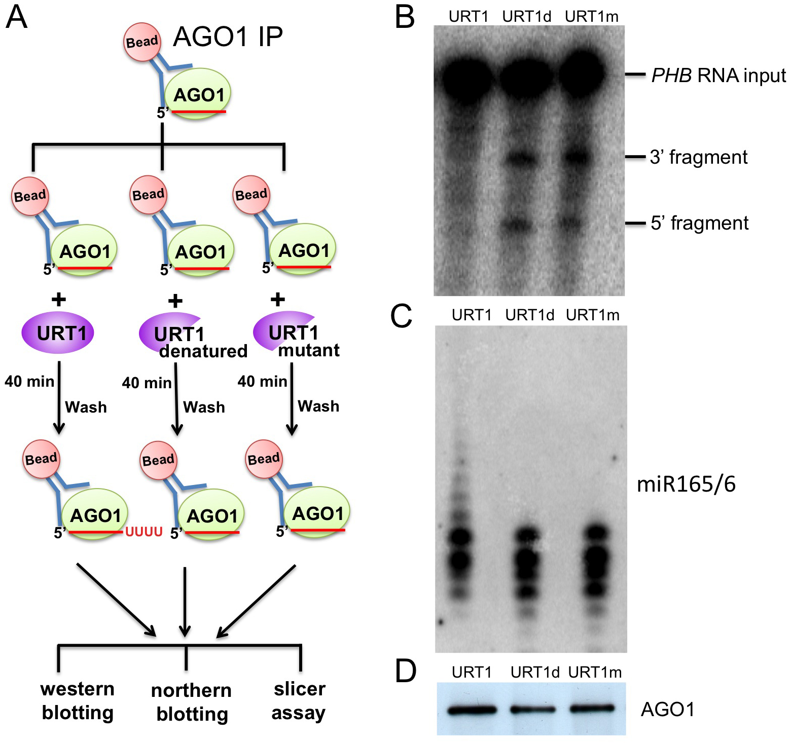Tailing of AGO1-bound miR165/6 by URT1 drastically reduces its slicer activity.