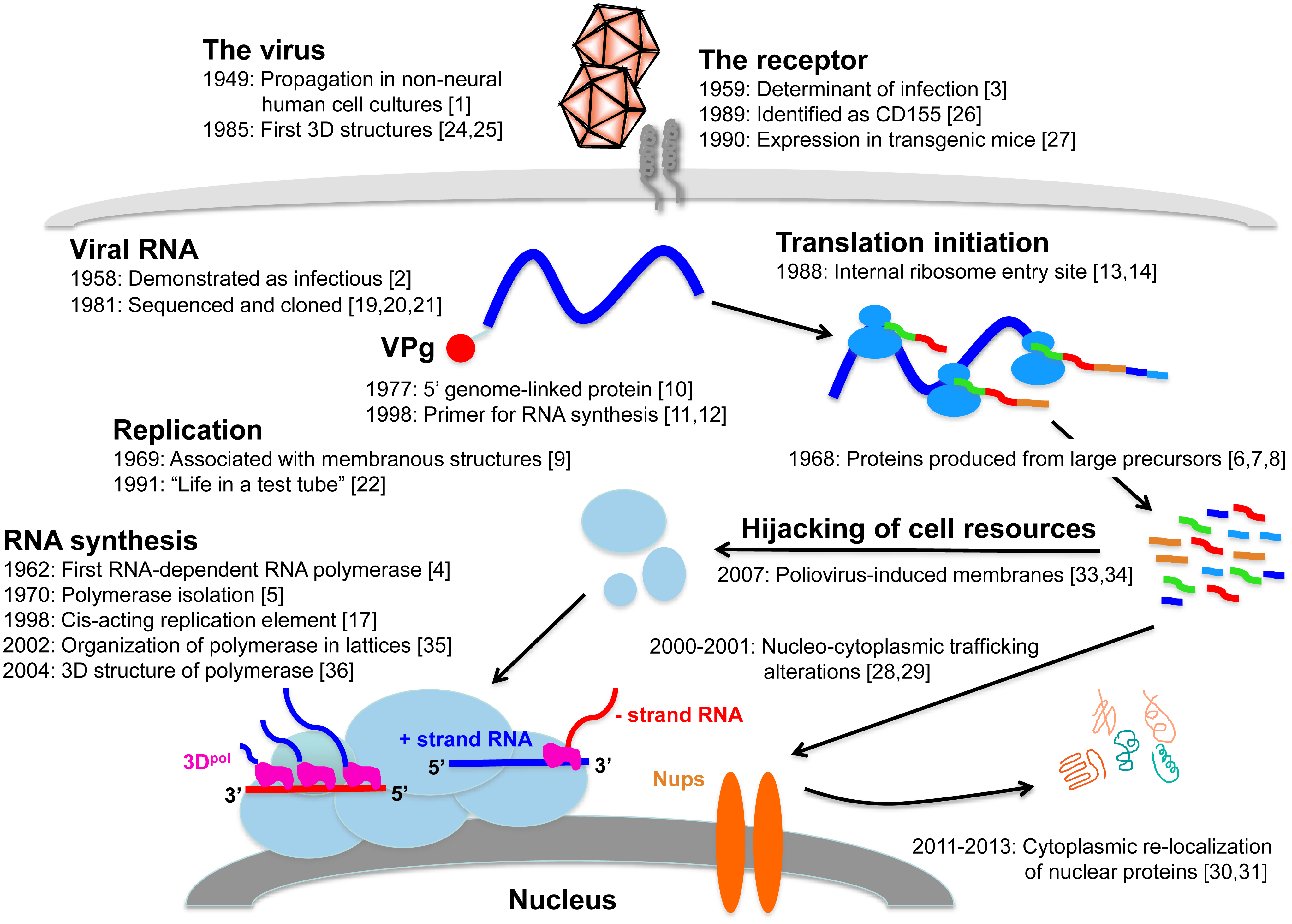 Replication cycle of poliovirus, annotated with references to key findings during the past 65 years.