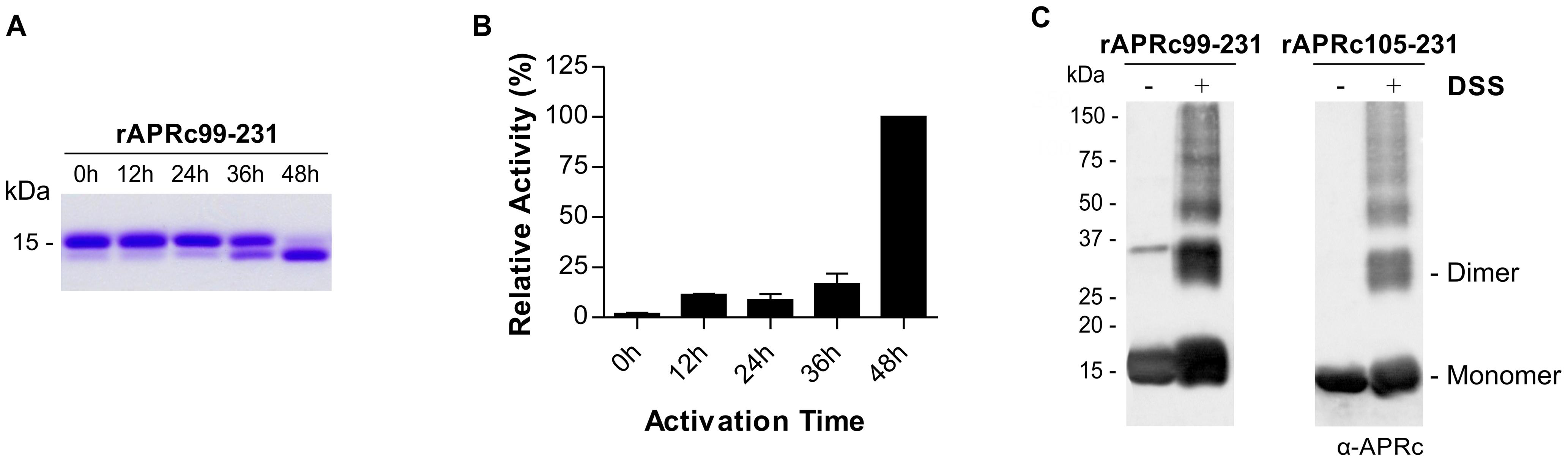 Auto-processing activity of the last intermediate of activation rAPRc<sub>99–231</sub>.