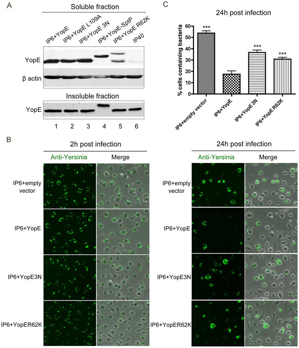 Measurement of YopE translocation and survival in macrophages by different <i>Y. pseudotuberculosis</i> strains.