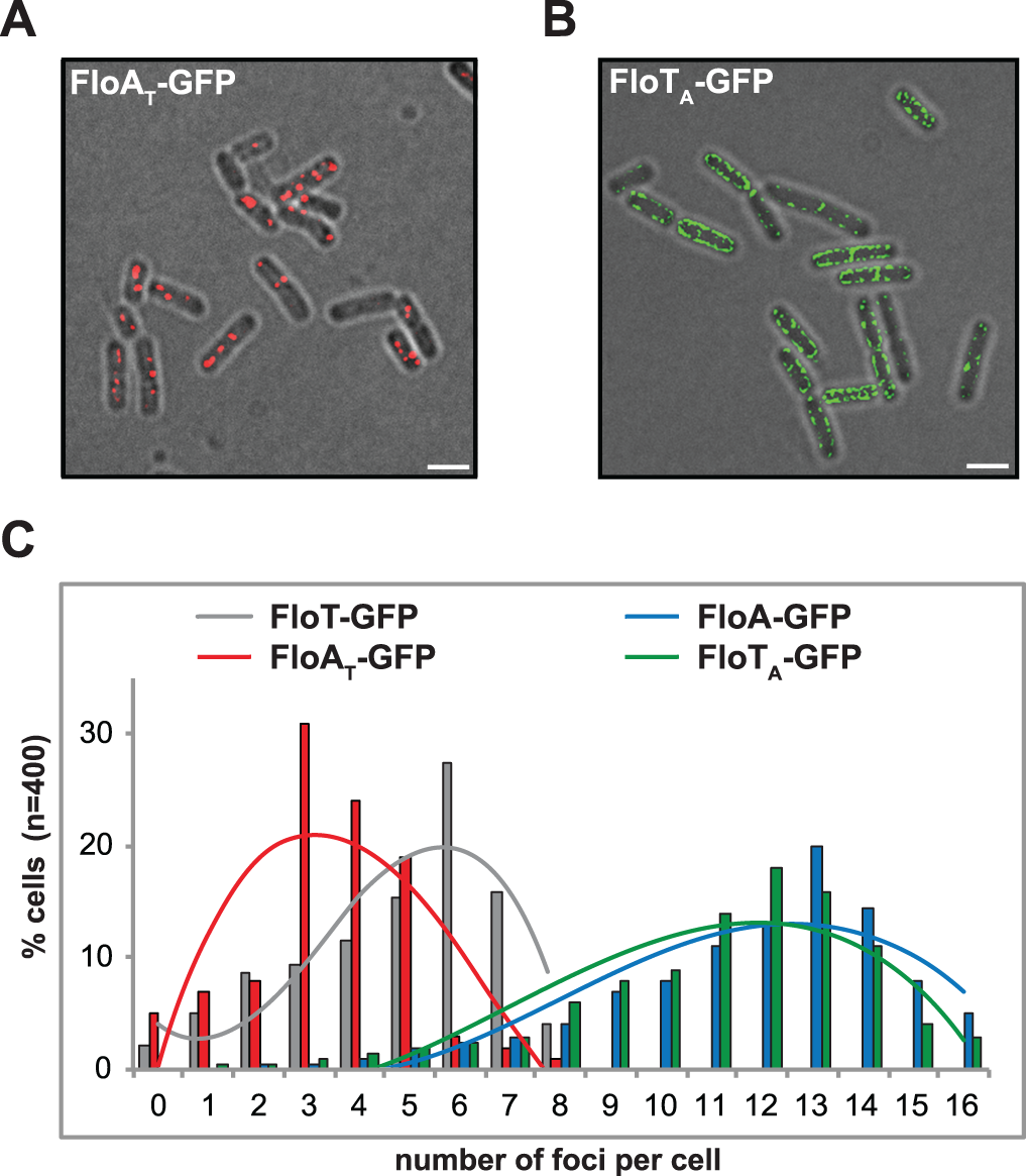 C-terminal region of FloA and FloT plays a role in their oligomerization properties.