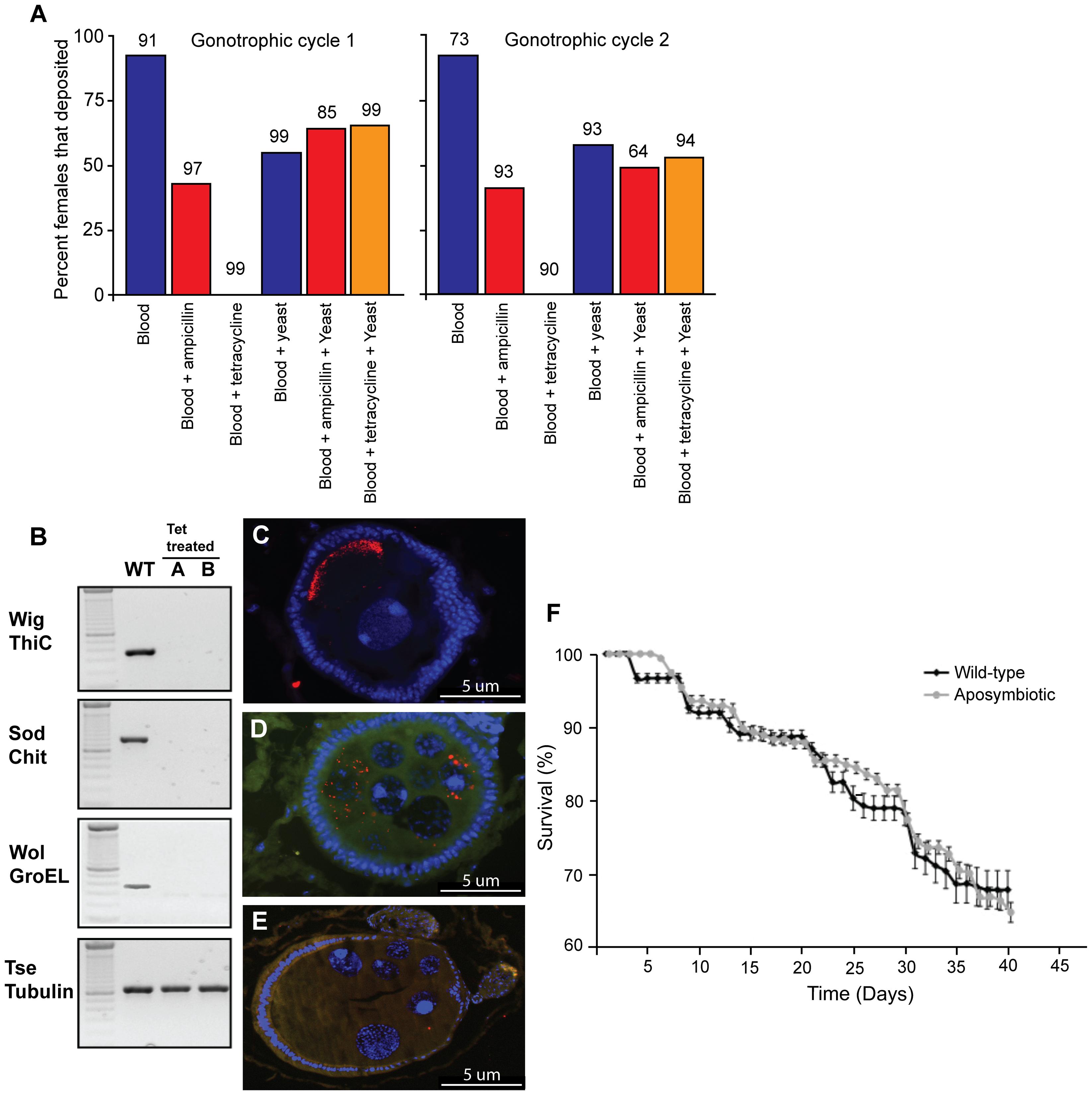 The effects of antibiotic treatment on <i>G. m. morsitans.</i>