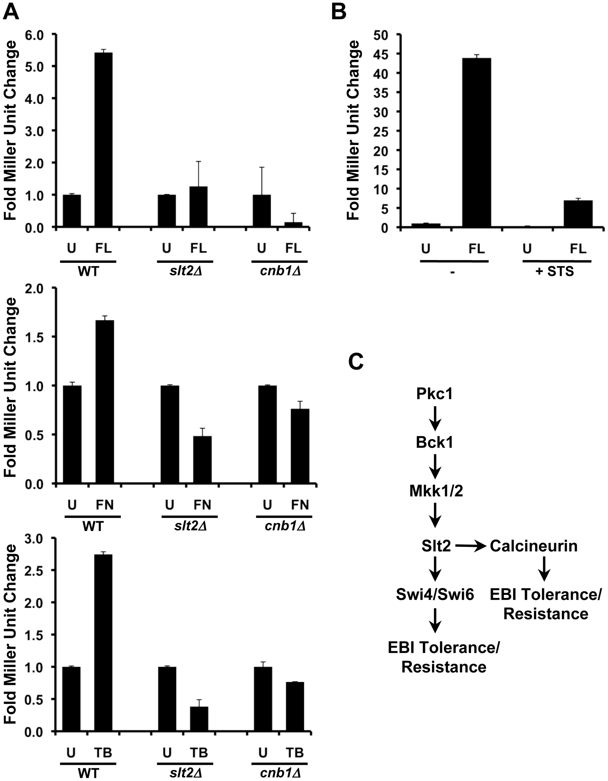 Compromising PKC-MAPK signaling blocks calcineurin activation in response to ergosterol biosynthesis inhibitors in <i>S. cerevisiae</i>.