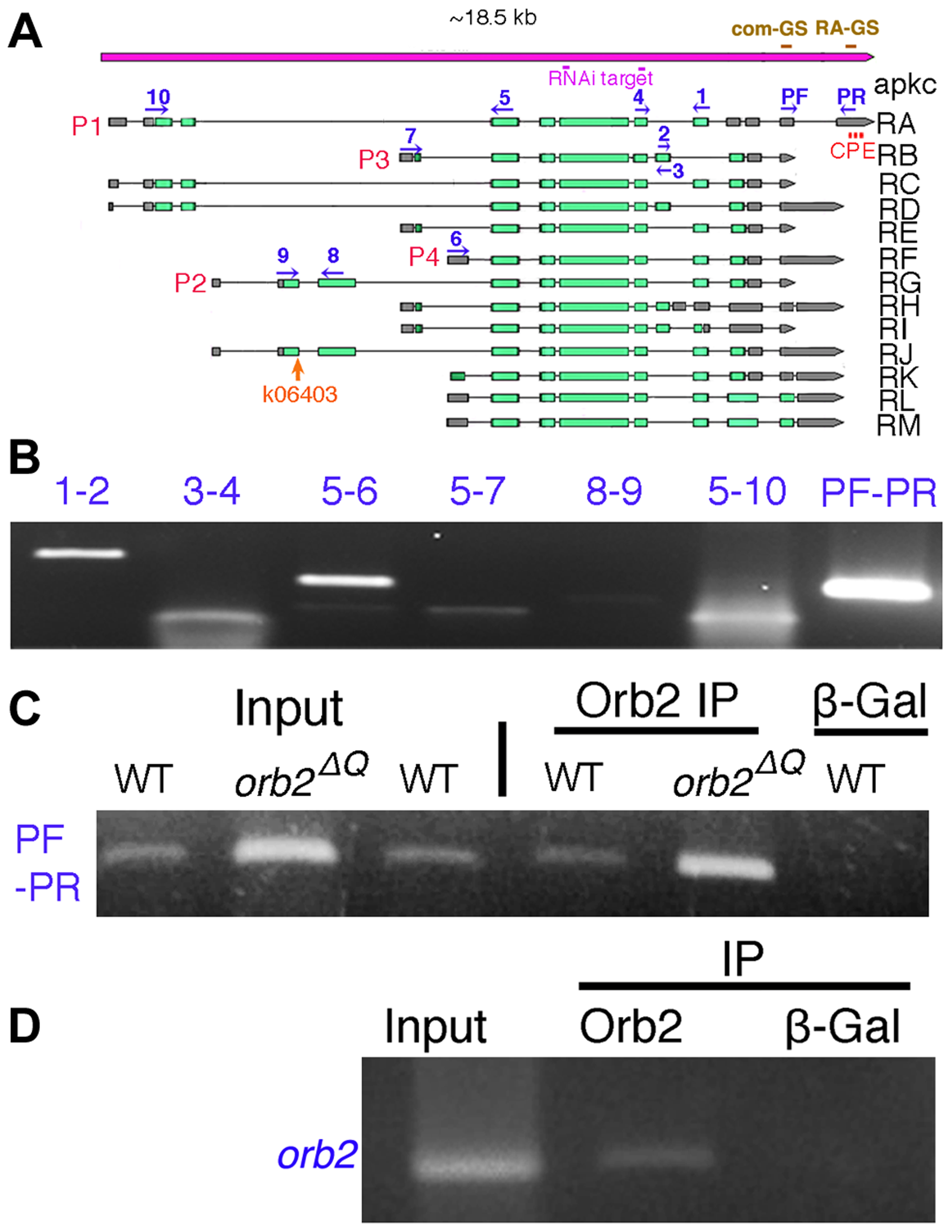 <i>apkc-RA</i> and <i>orb2</i> mRNAs associate with Orb2 <i>in vivo</i>.
