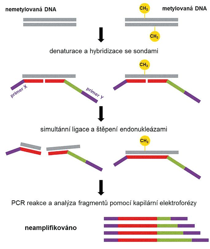 Schéma MS-MLPA. Stanovení metylace restrikčního místa kombinací ligace, štěpení, PCR reakce a kapilární elektroforézy. Základem je vhodný design DNA sond, z níž jedna obsahuje primer X a druhá primer Y. U metylované DNA po ligaci proběhne PCR reakce, generující amplikony o různých délkách v závislosti na délce původní DNA sondy, které jsou rozlišeny kapilární elektroforézou. Nemetylovaná DNA je po ligaci štěpena a amplifikace neprobíhá.