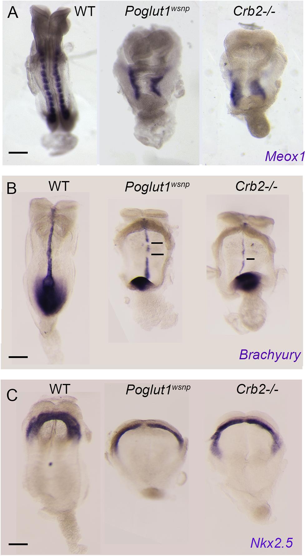 Indistinguishable phenotypes of early <i>Poglut1</i><sup><i>wsnp</i></sup> and <i>Crumbs2</i> mutant embryos.