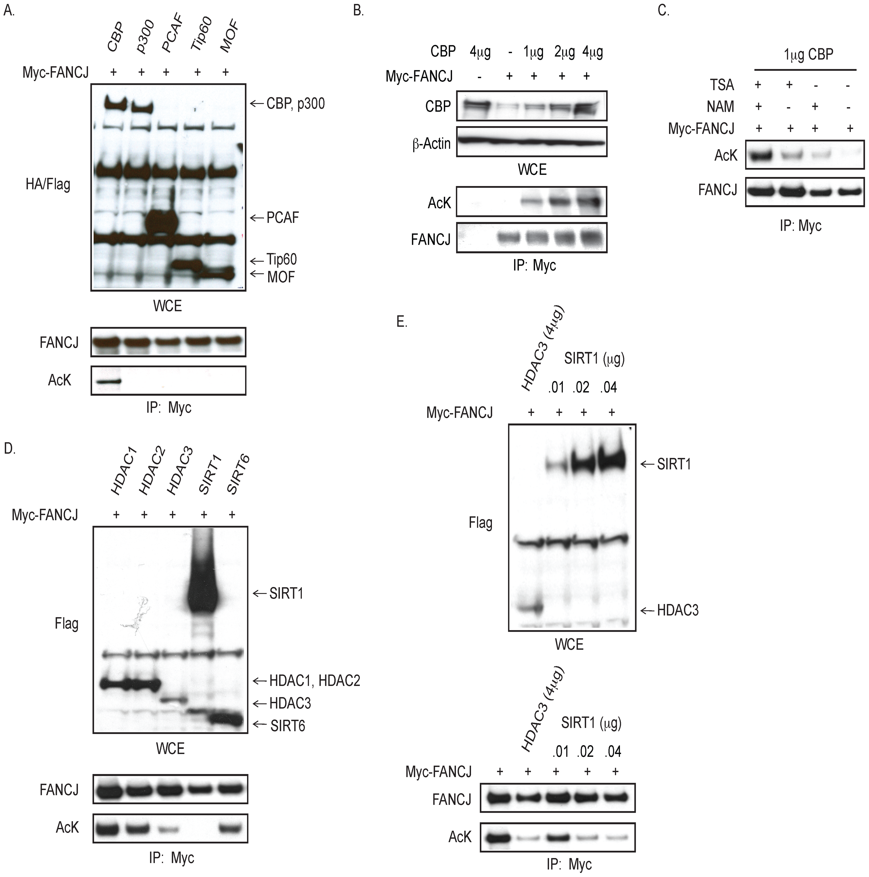 CBP promotes, and HDAC3 and SIRT1 reduce, FANCJ acetylation.