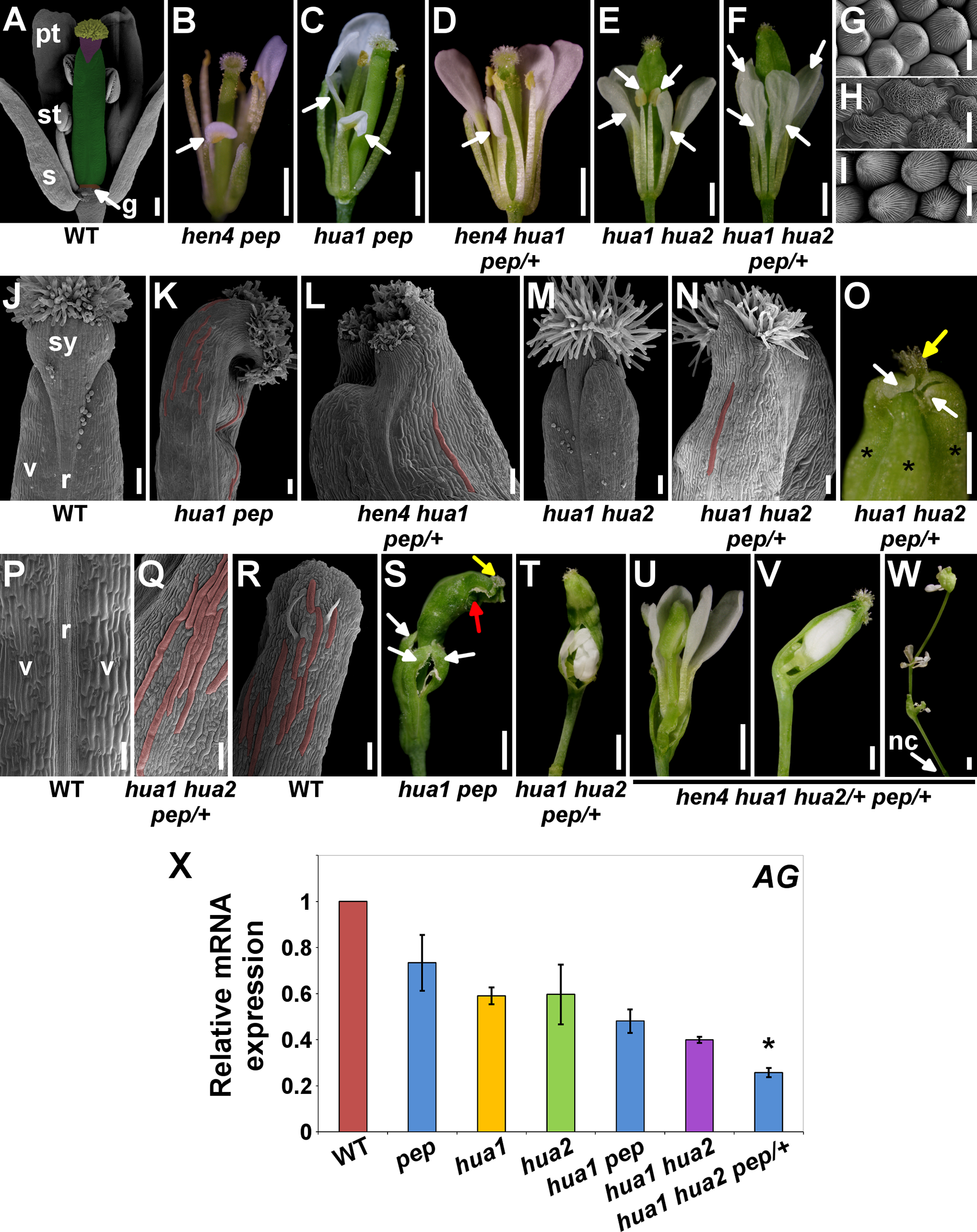 <i>PEP</i> regulates flower reproductive organ identity and determinacy.