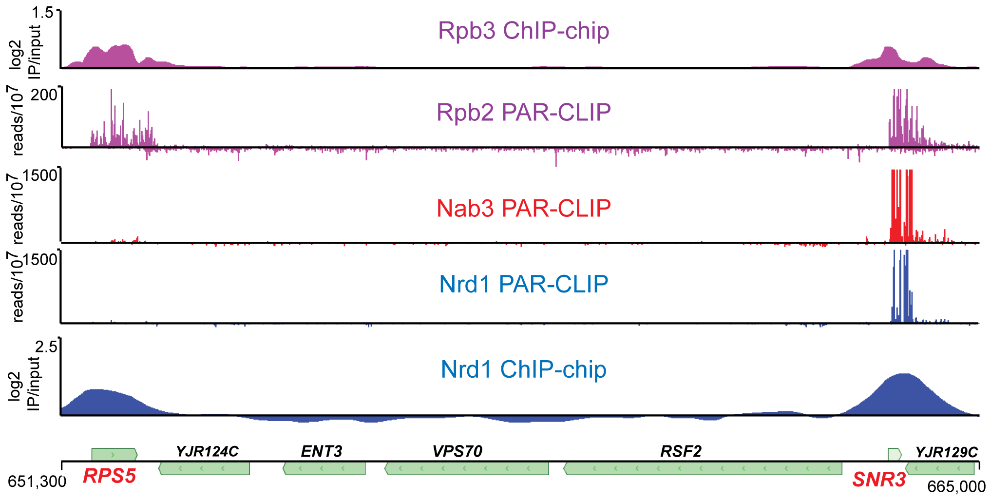 Transcriptome and chromatin mapping of Nrd1, Nab3, and Pol II on a segment of chromosome X.