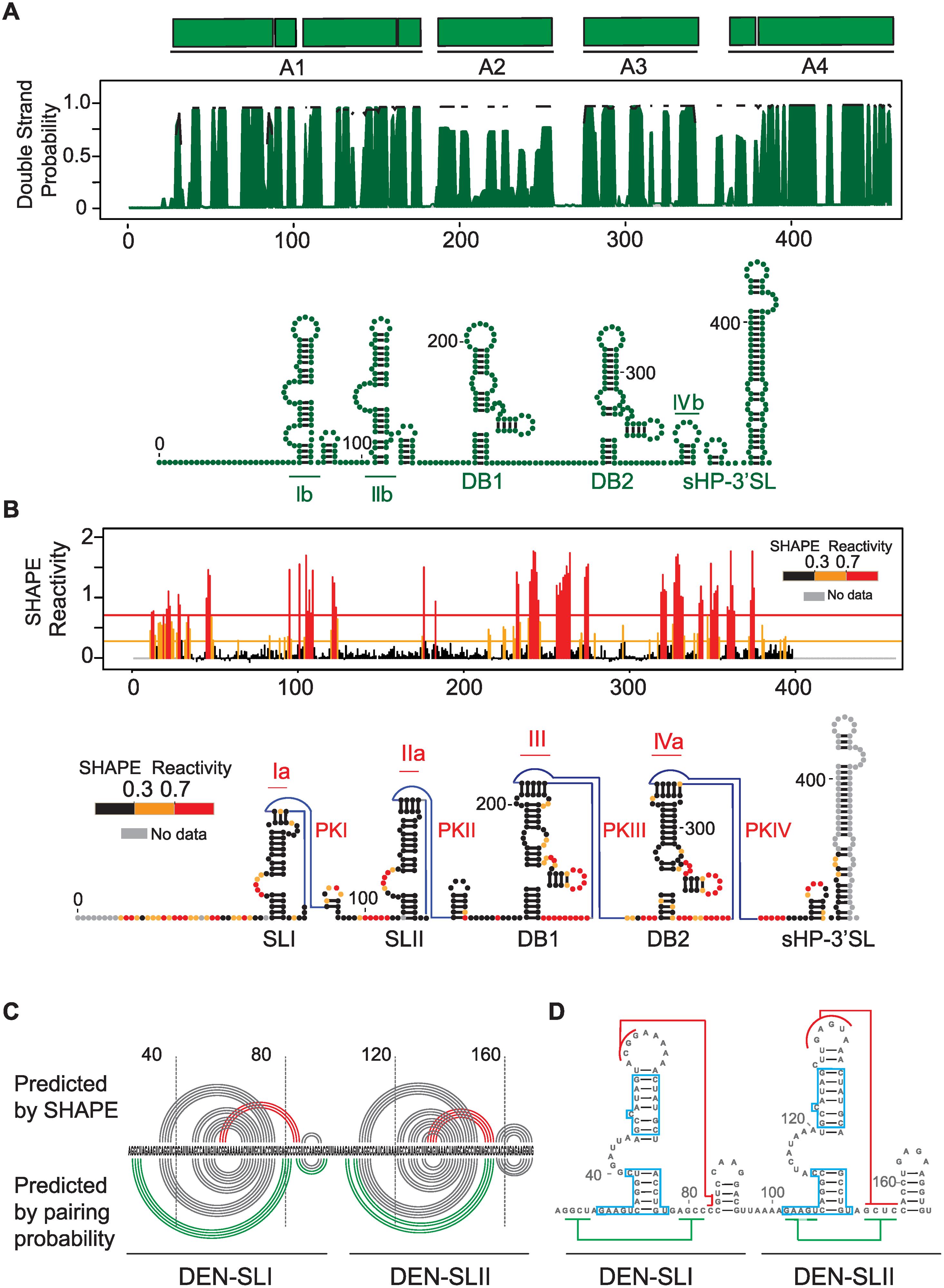 Structural organization of the 3'UTR of dengue virus.