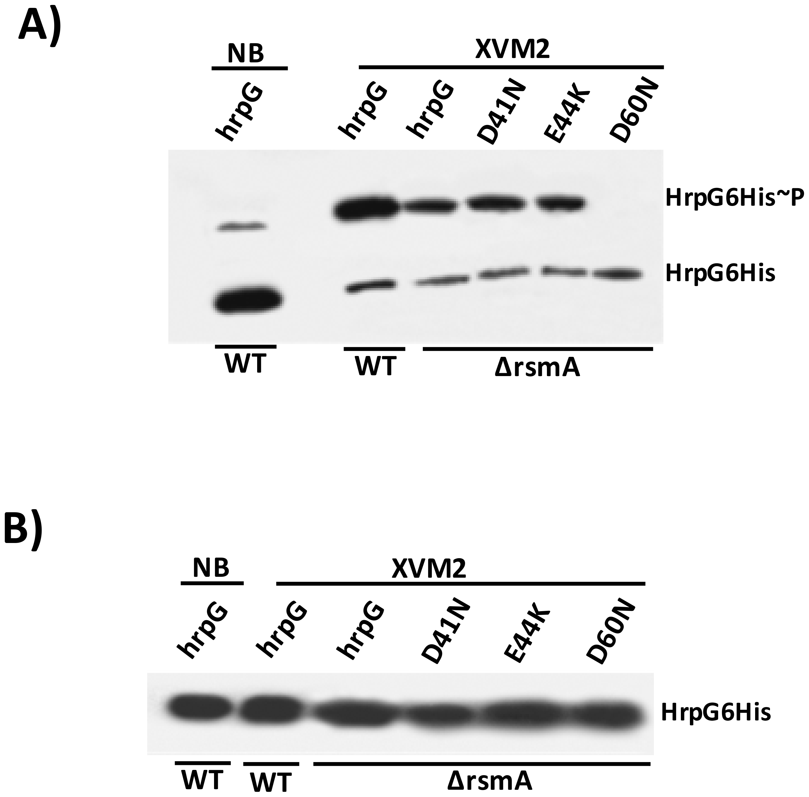 <i>In vivo</i> phosphorylation of HrpG Asp60 residue is critical to restore the virulence in the Δ<i>rsmA</i> mutant of XCC.