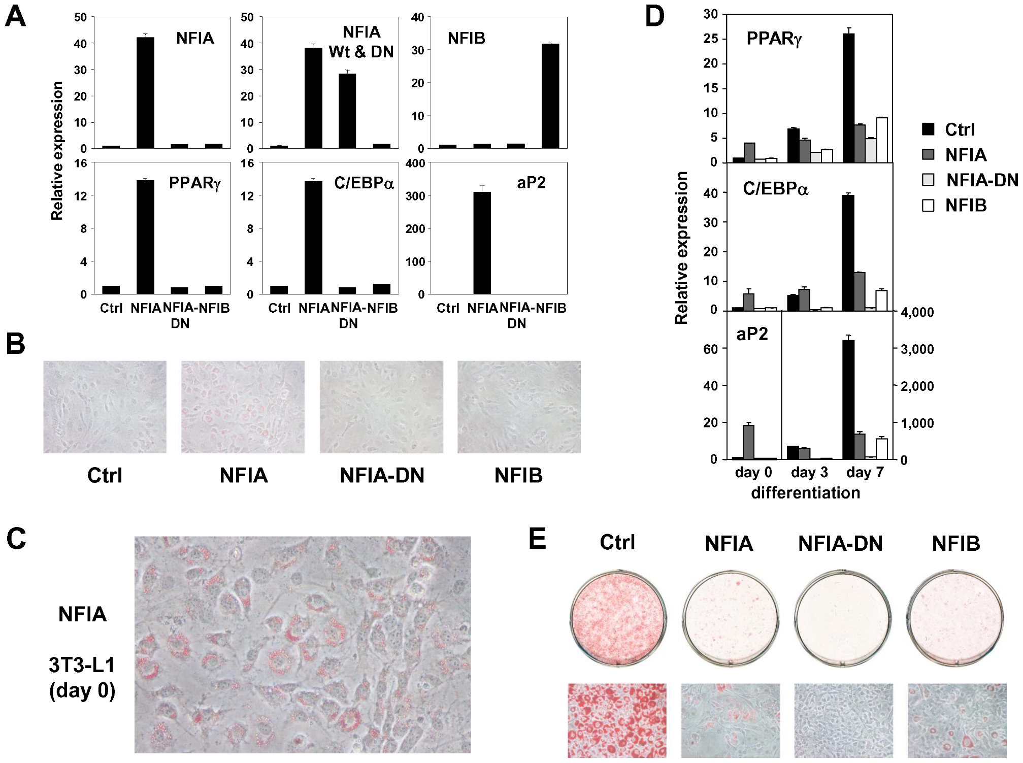 Overexpression of NFIA, NFIB, and dominant negative NFIA in 3T3-L1 cells.