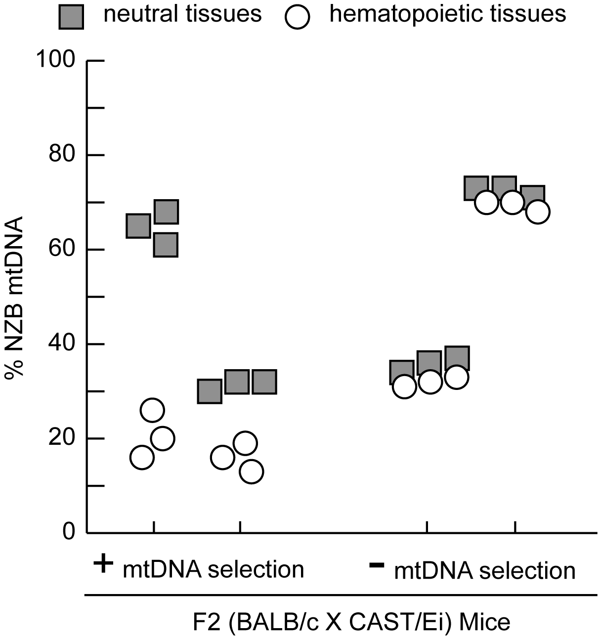 MtDNA segregation in hematopoietic tissues of 12-month-old heteroplasmic F2 (BALB/c X CAST/Ei) mice.
