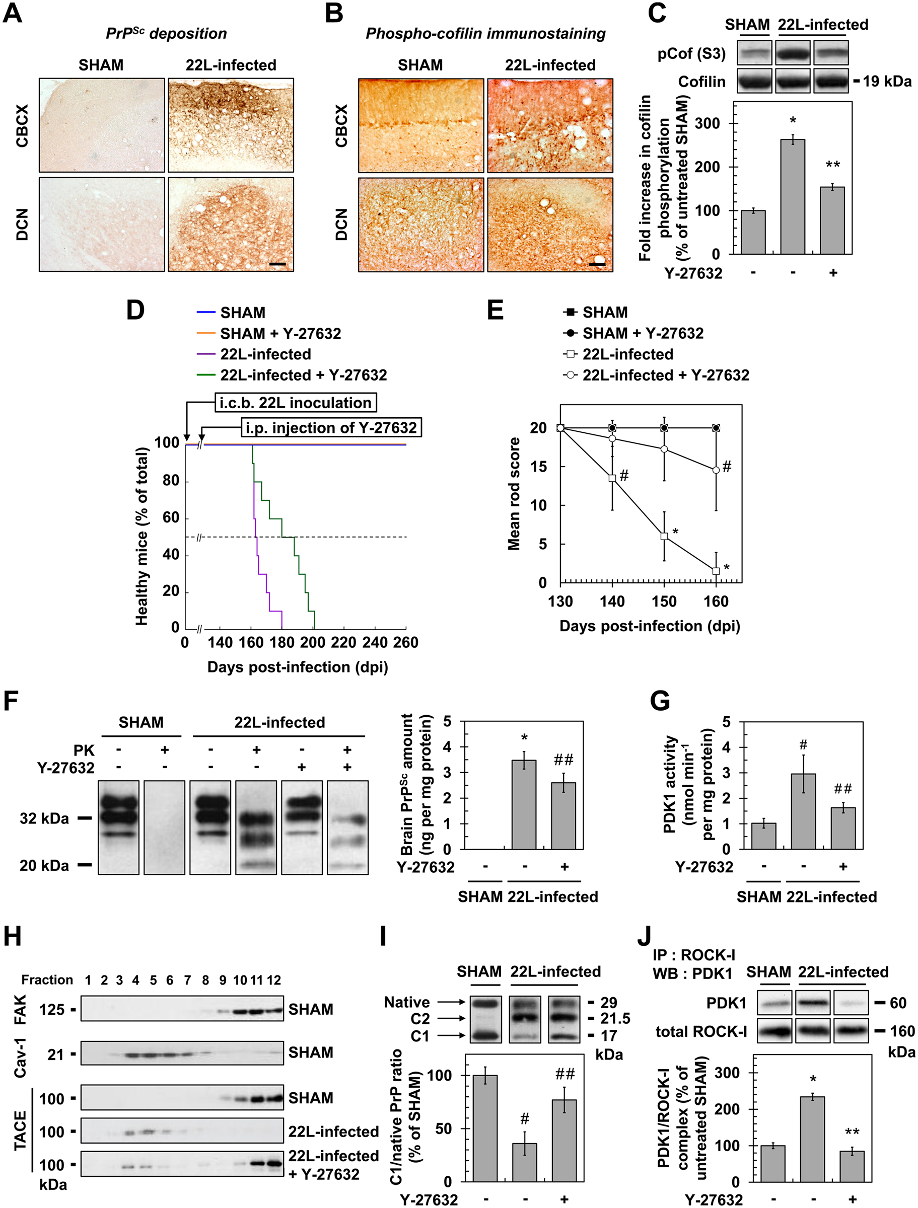 ROCK inhibition with Y-27632 attenuates prion disease in mice.