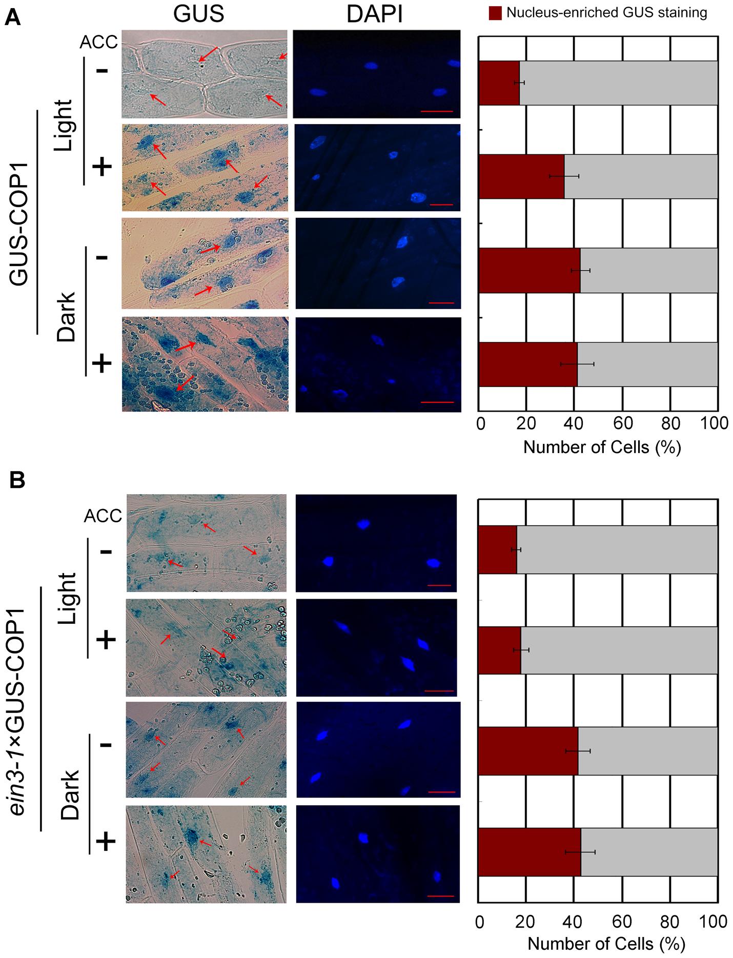 The ethylene precursor ACC improves COP1 nucleus-enriched localisation in the light.