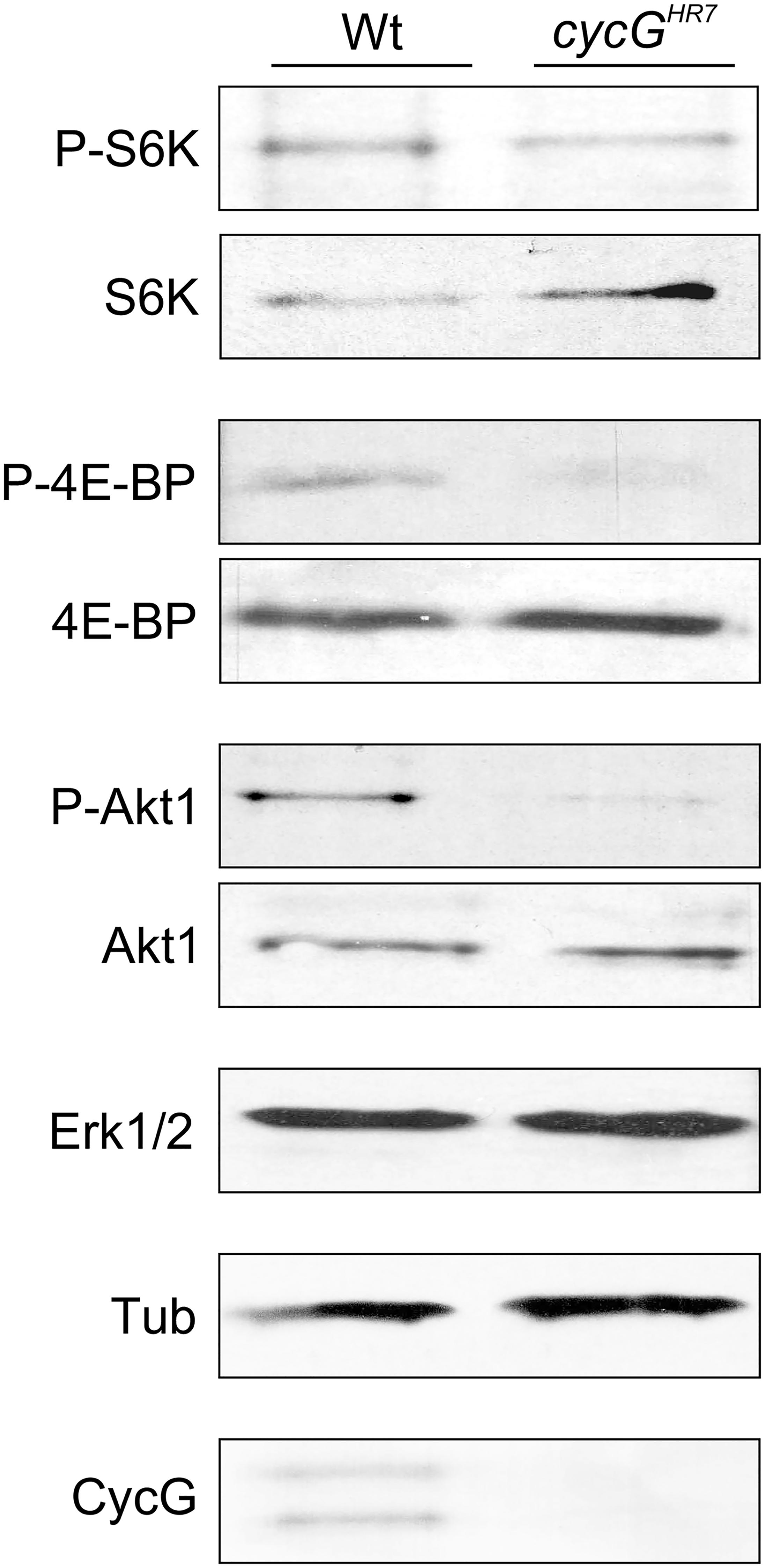 Reduced phosphorylation levels of InR/TOR targets in <i>cycG</i><sup><i>HR7</i></sup> mutants.