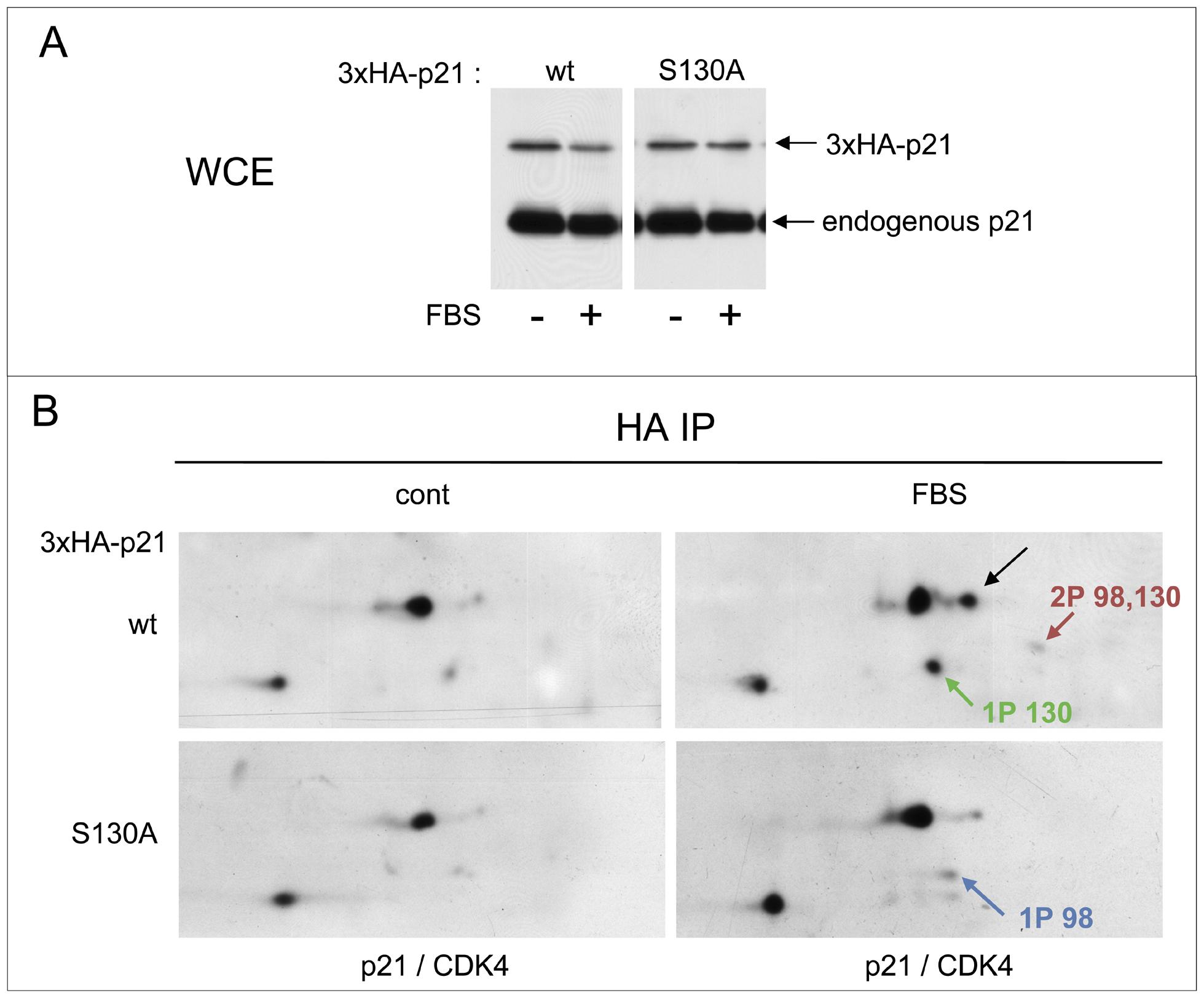 S130 phosphorylation of p21 is instrumental in CDK4 activation.