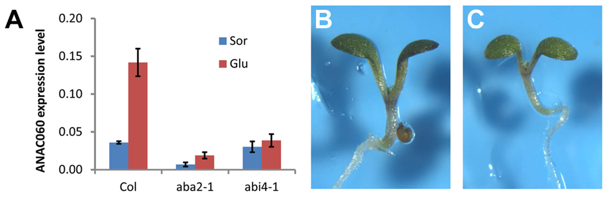 Glc induction of <i>ANAC060</i> requires ABA signaling.