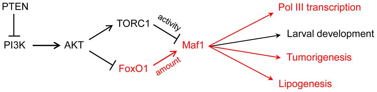 PI3K signaling via FoxO1 regulates Maf1 abundance and downstream processes.