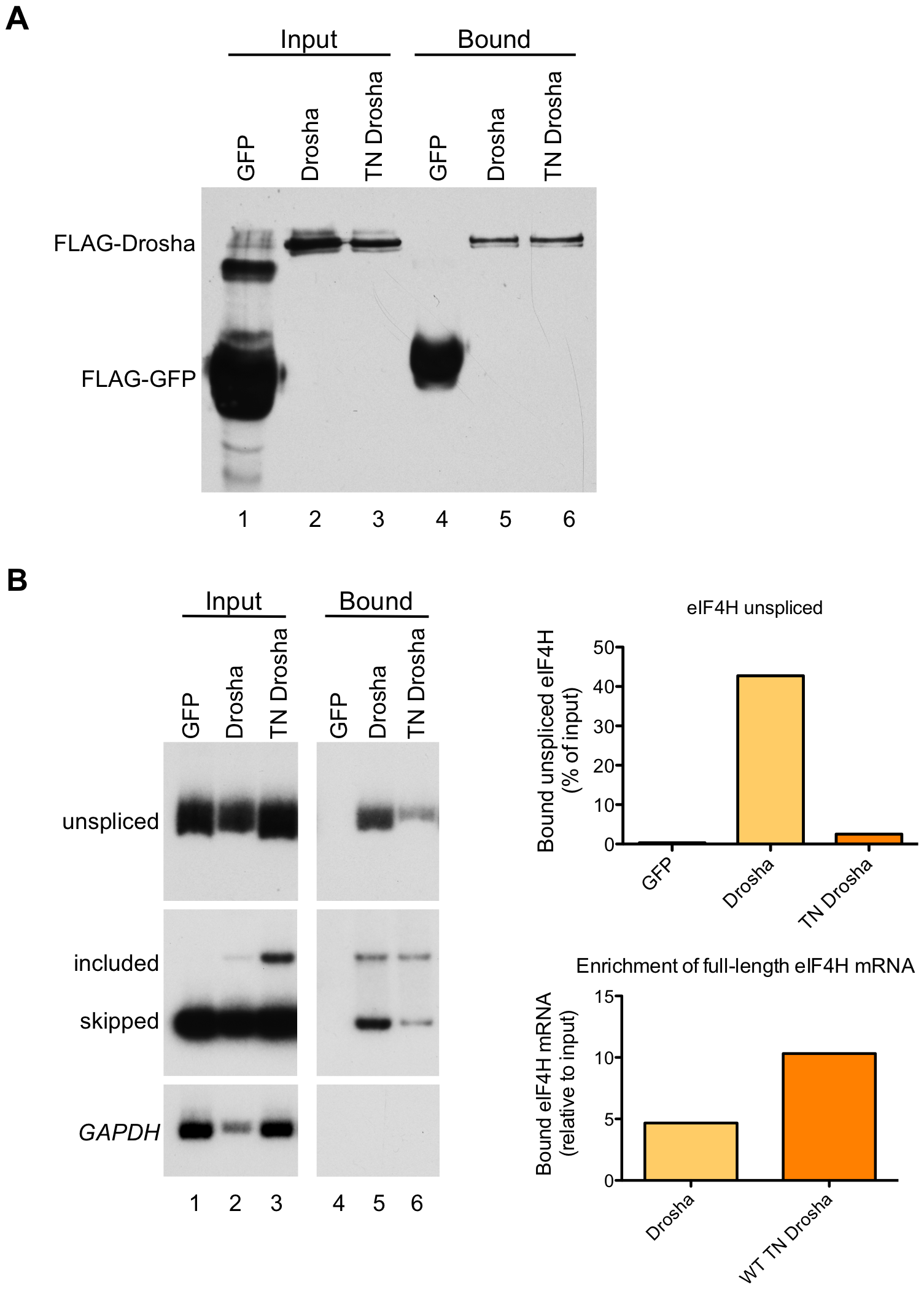 <i>eIF4H</i> exon 5 co-immunoprecipitates with Drosha and TN Drosha.