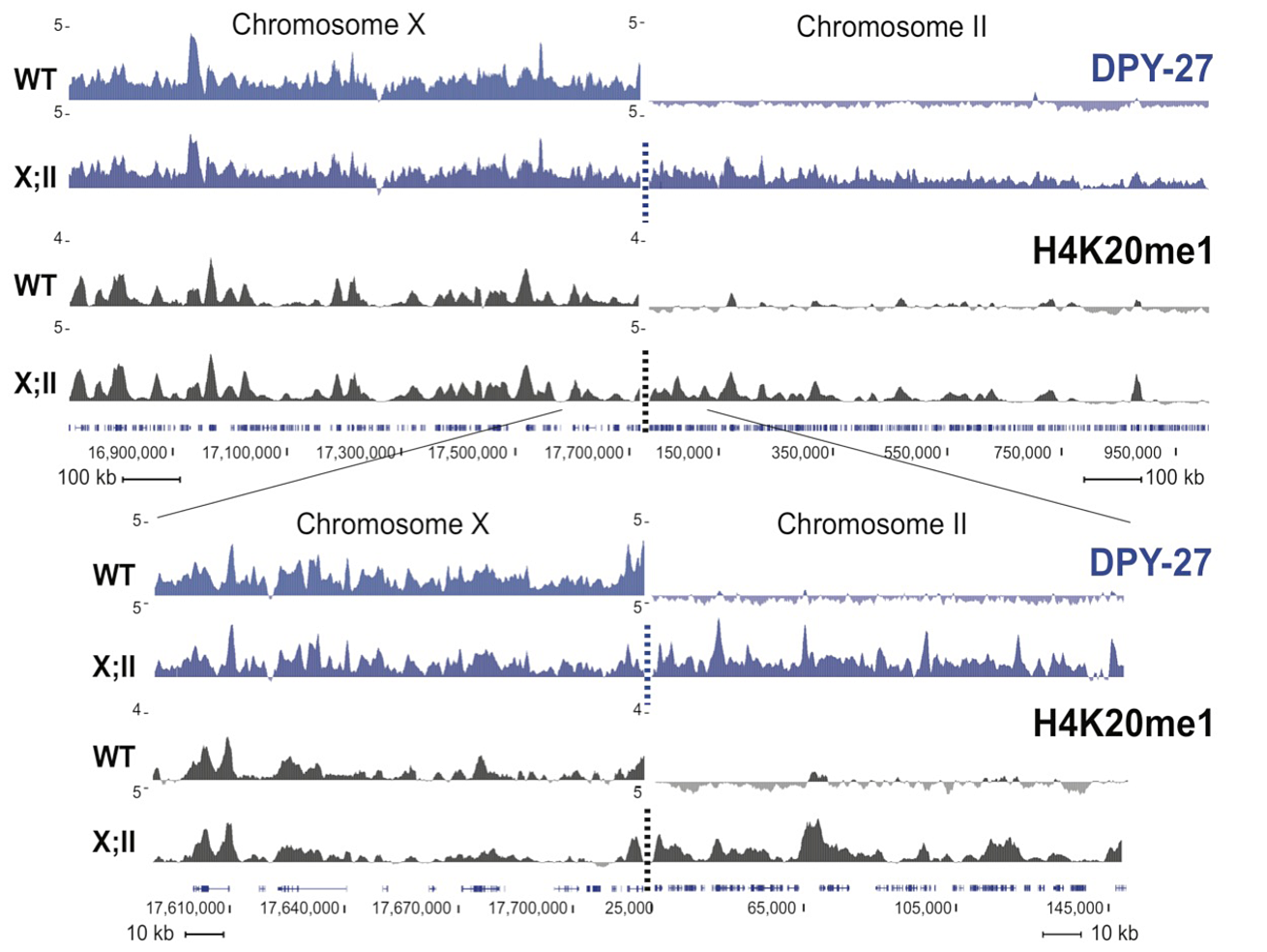 H4K20me1 ectopically spreads onto the autosomal region of an X;II fusion chromosome.
